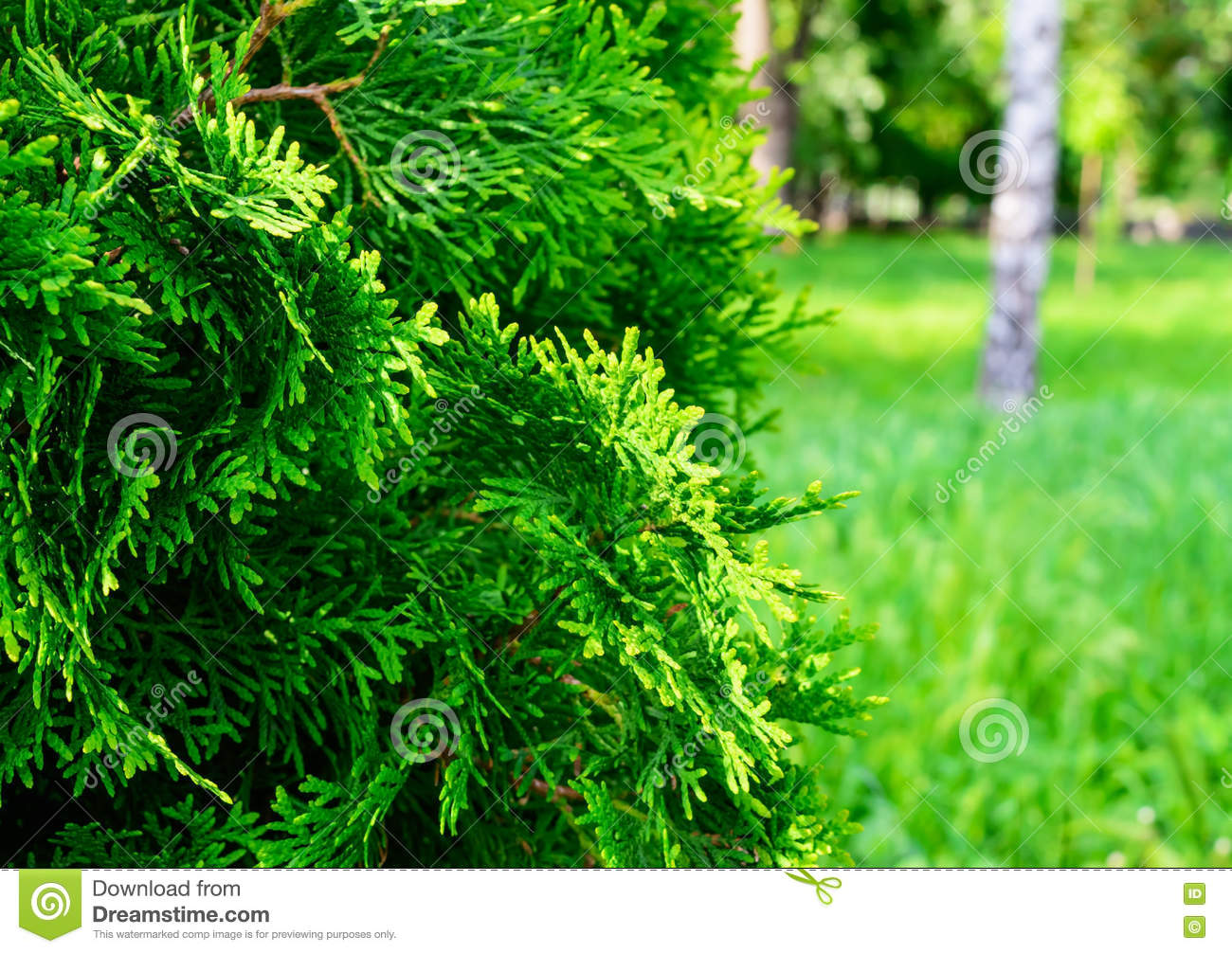 Green juniper bush in the foreground stock photo image for The juniper
