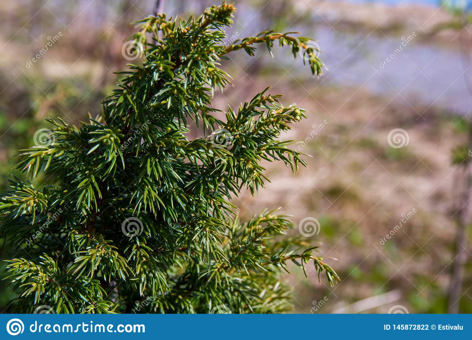 Green juniper bushes in the north finland forest. Green fresh juniper bushes in the north finland forest stock photography