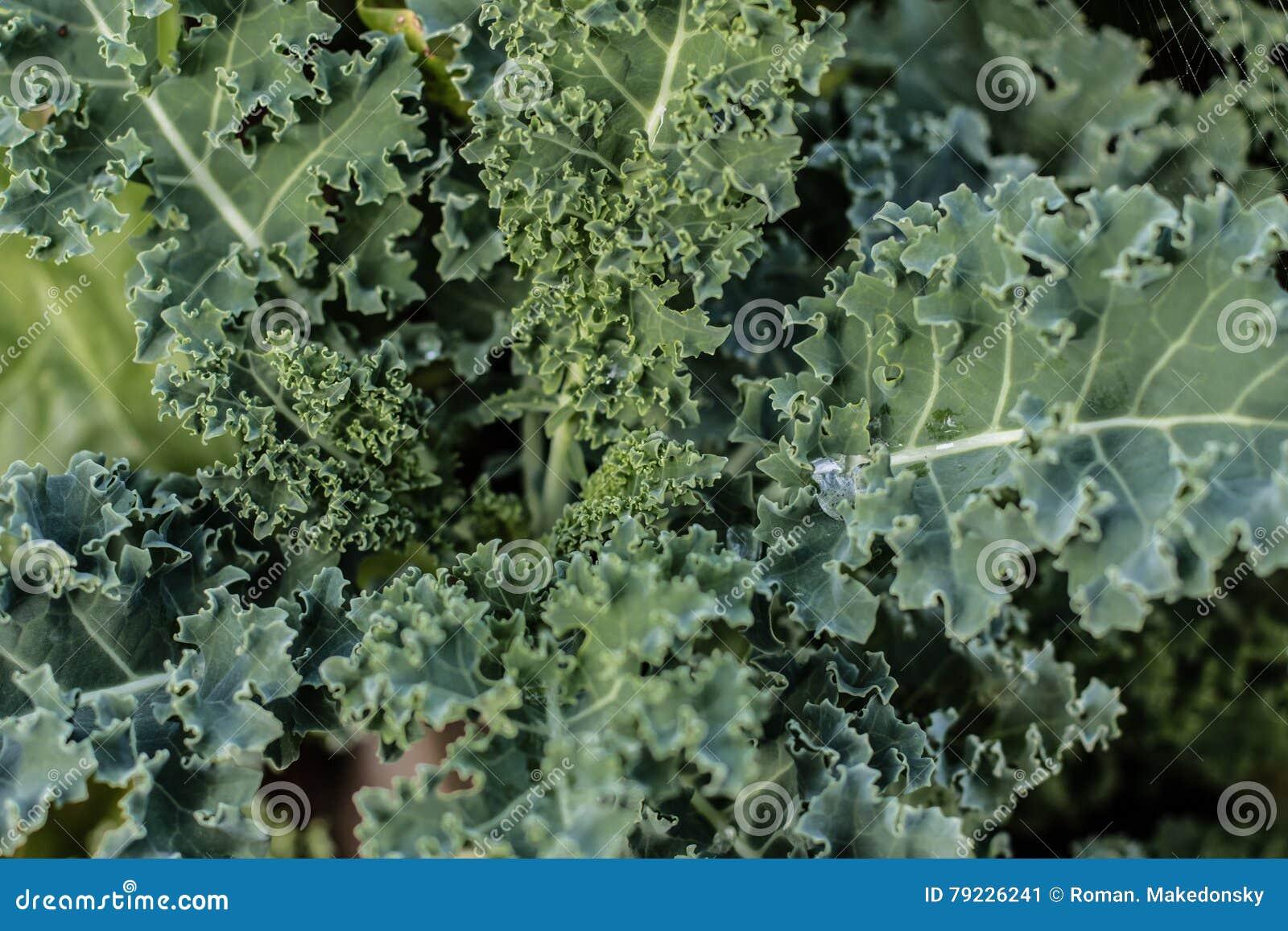 green kale close up stock photo image 79226241