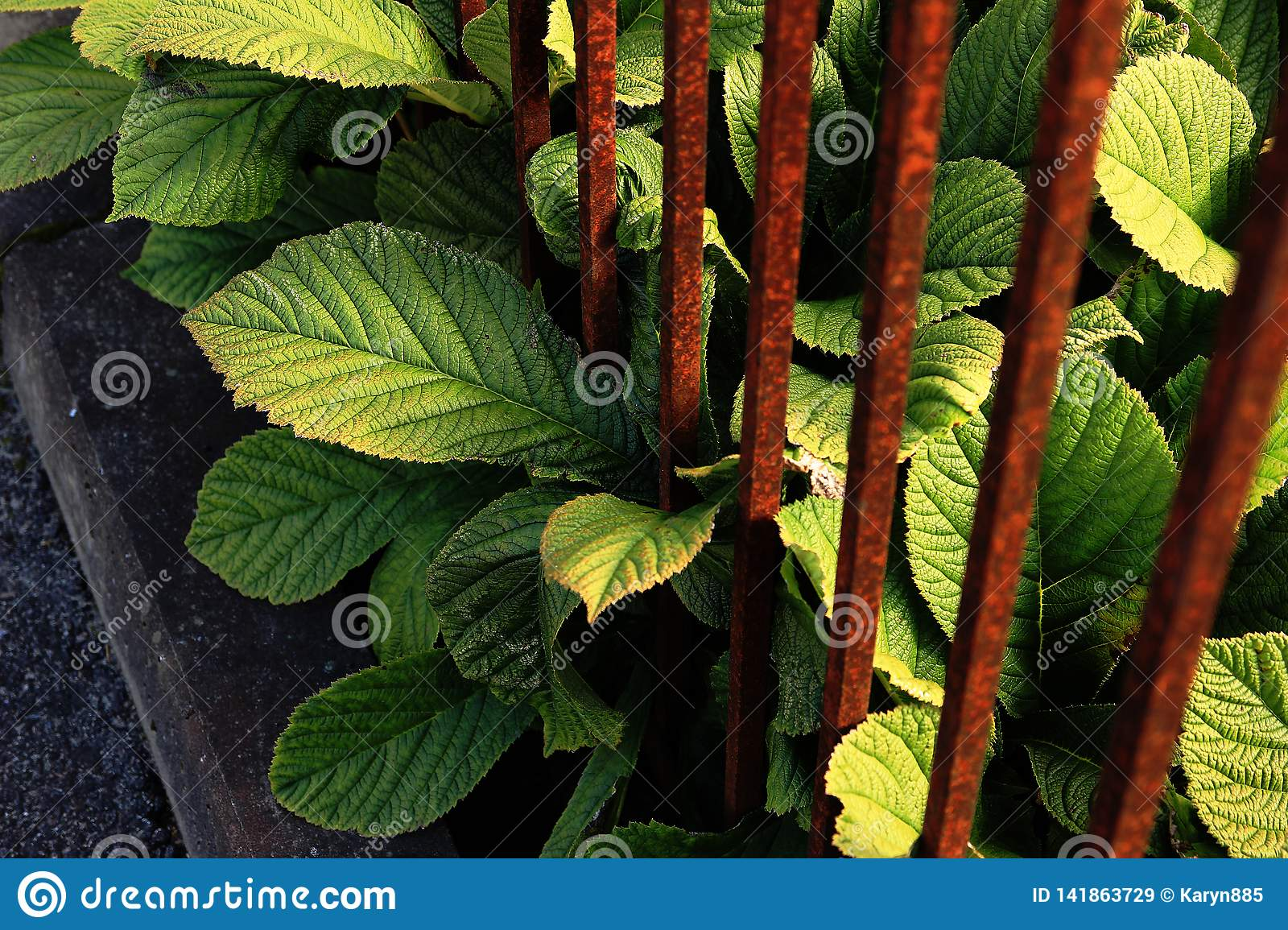 Green Large Leaves with Rusty Bars