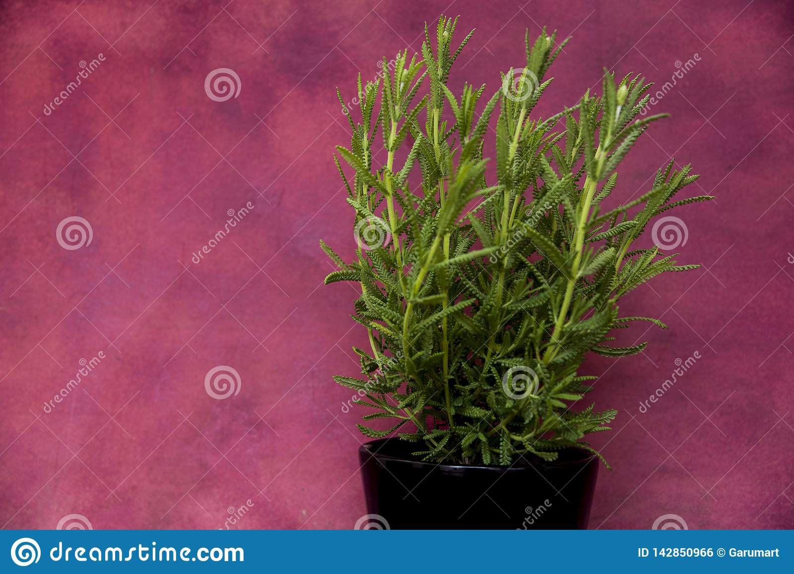 Green lavender plant on pot