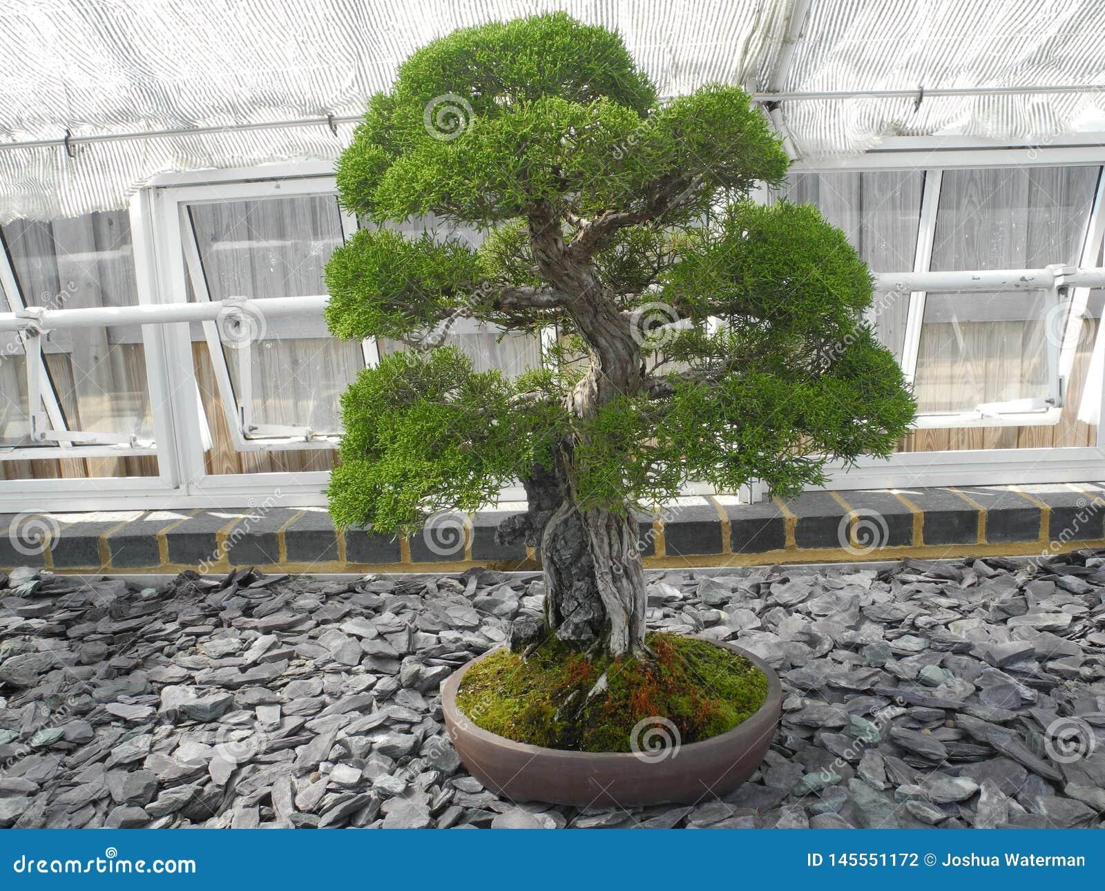 Green leaf bonsai plant