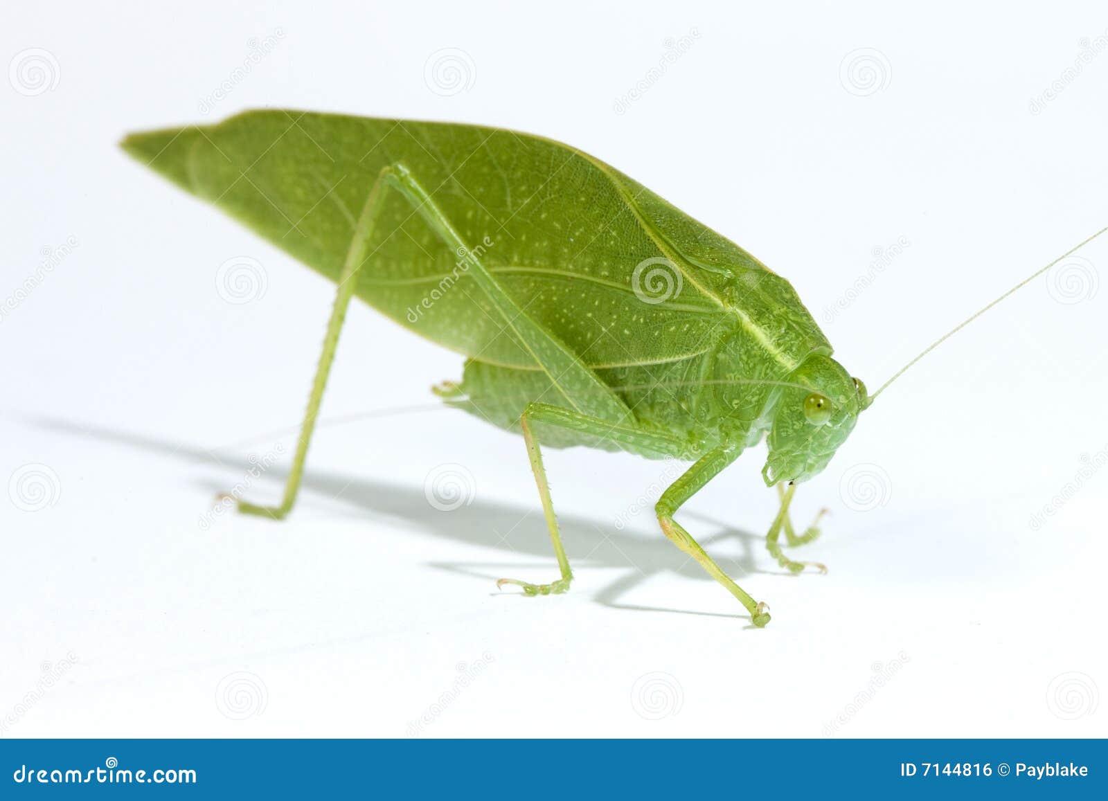 Green Leaf Bug Royalty Free Stock Image - Image: 7144816