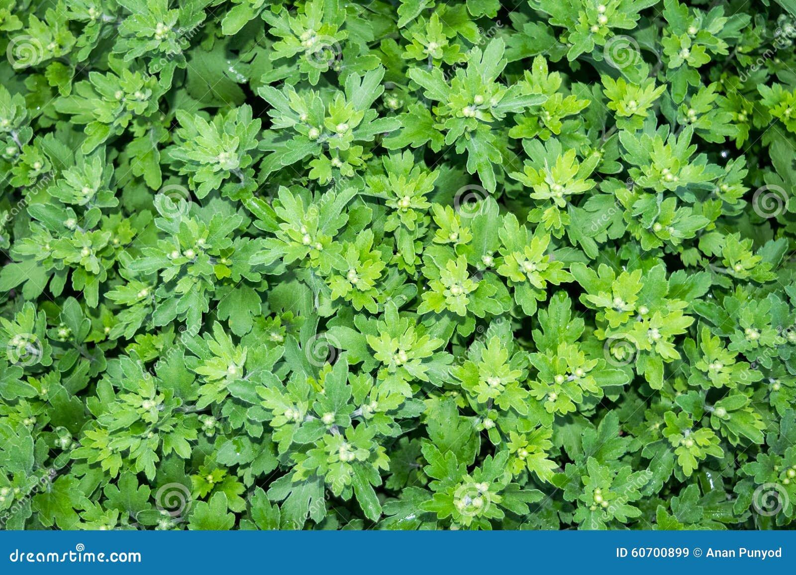 Green Leaf Chrysanthemum Flower Garden Nature Background