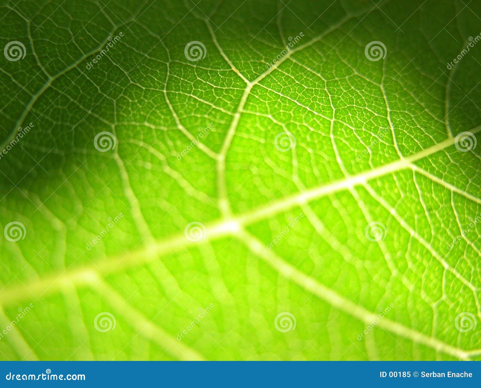 Green leaf closeup 3