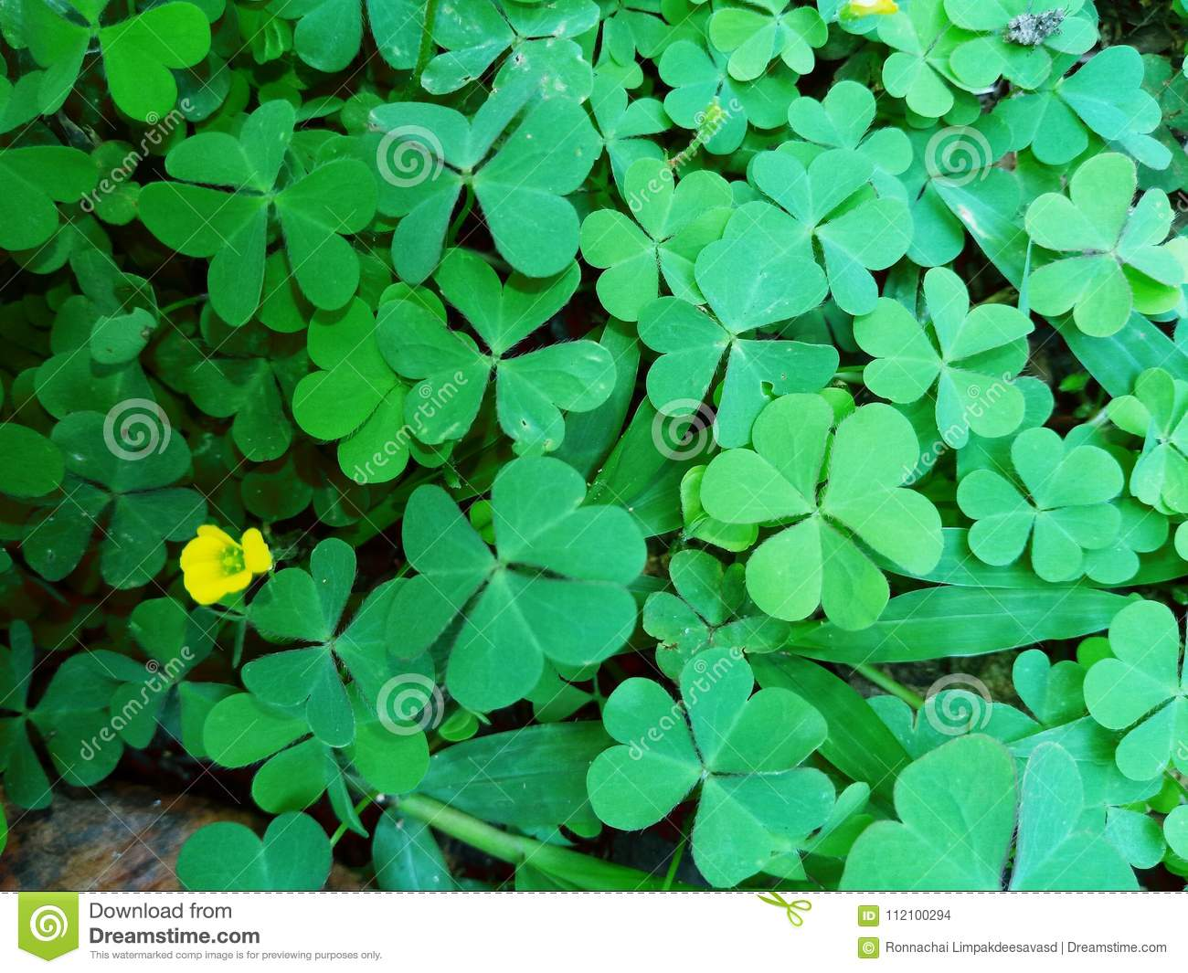 Green leaf Clover plant texture closeup background