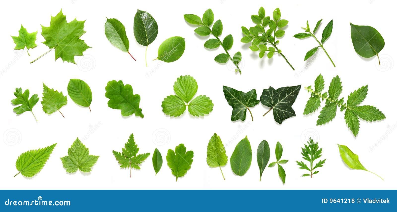 Green leaf collection Royalty Leaf