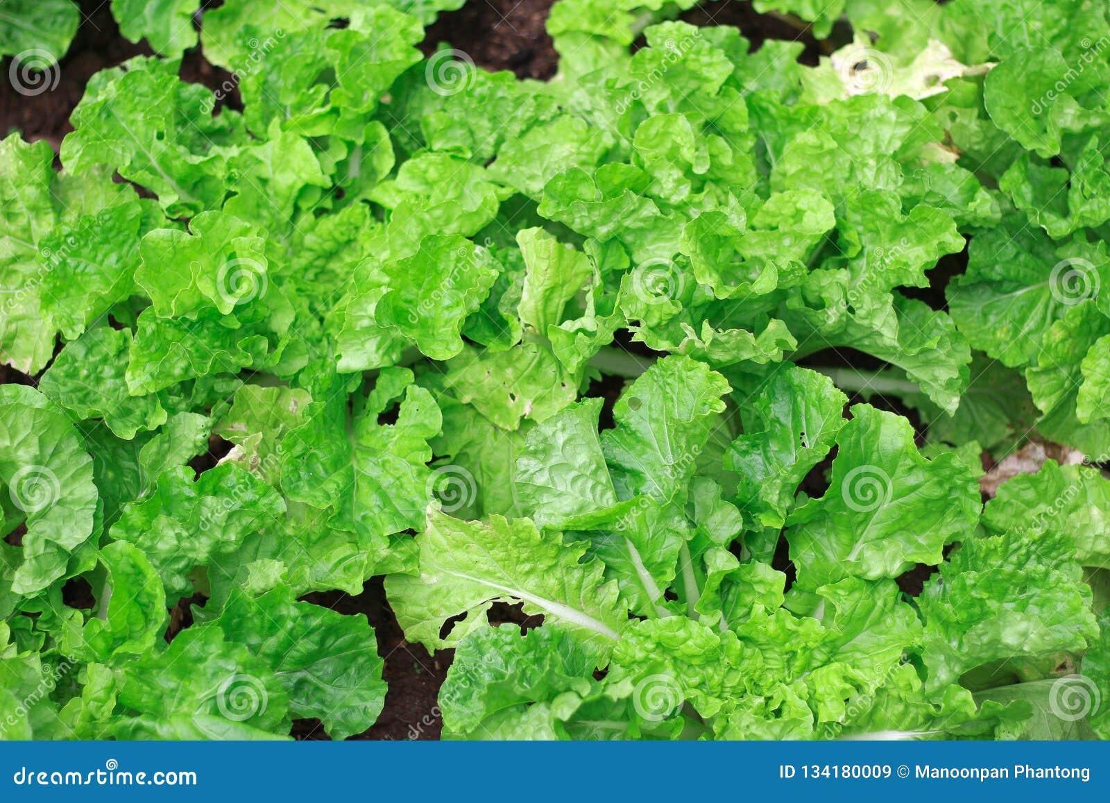 Green leaf lettuce, leaf background