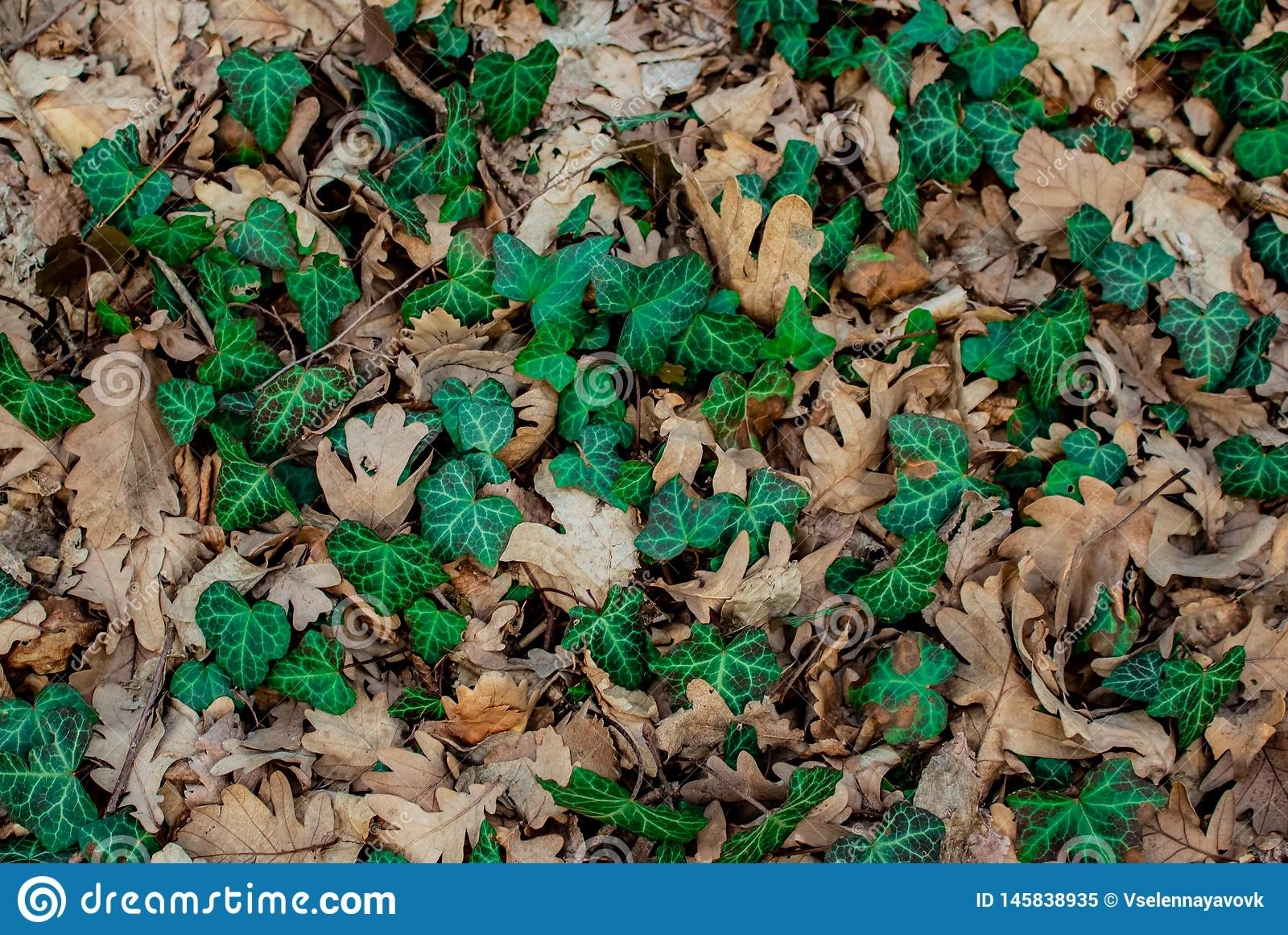 Green Leaf Liana in Dry Oak Leaves