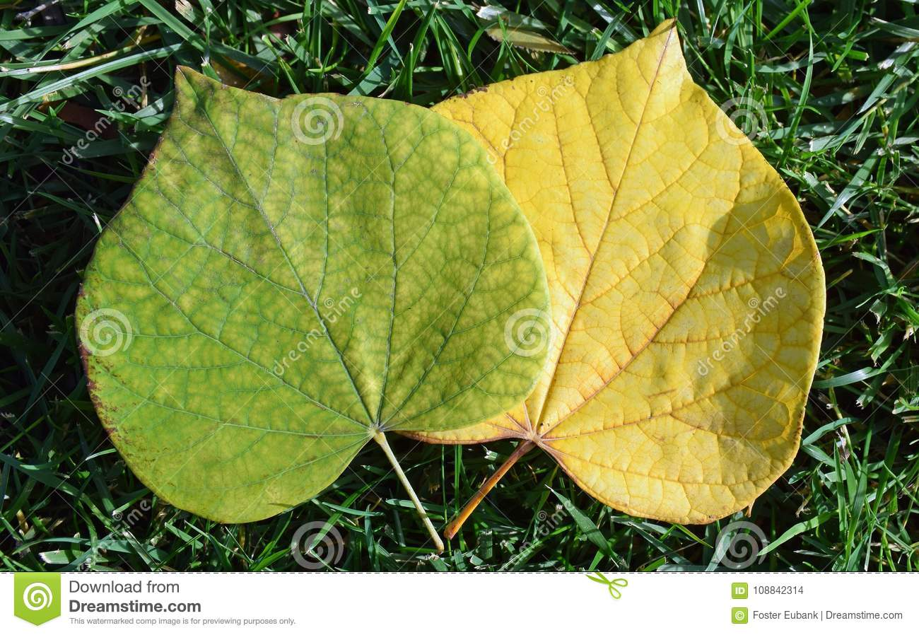 Green Leaf Losing Chorophyll Pigment Color. Stock Photo - Image of ...