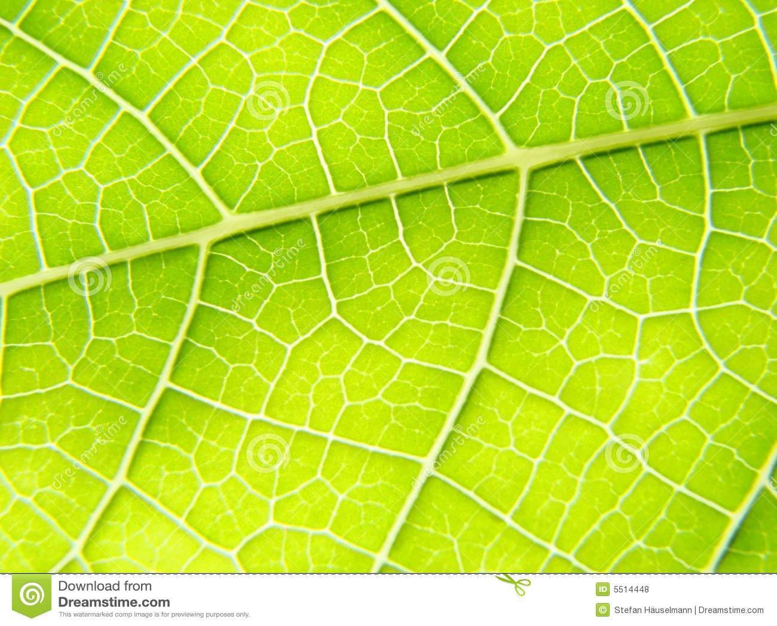 Green leaf macro vains bright