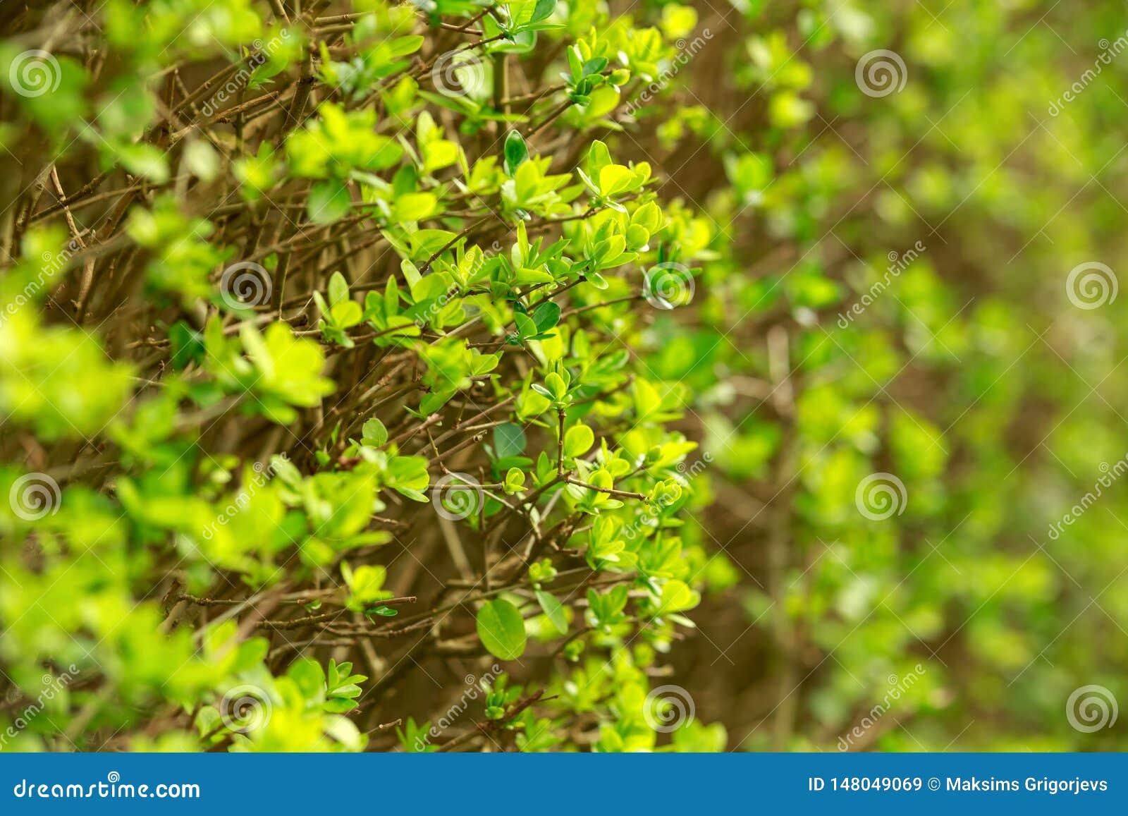 Green leaf pattern on spring bush, nature concept