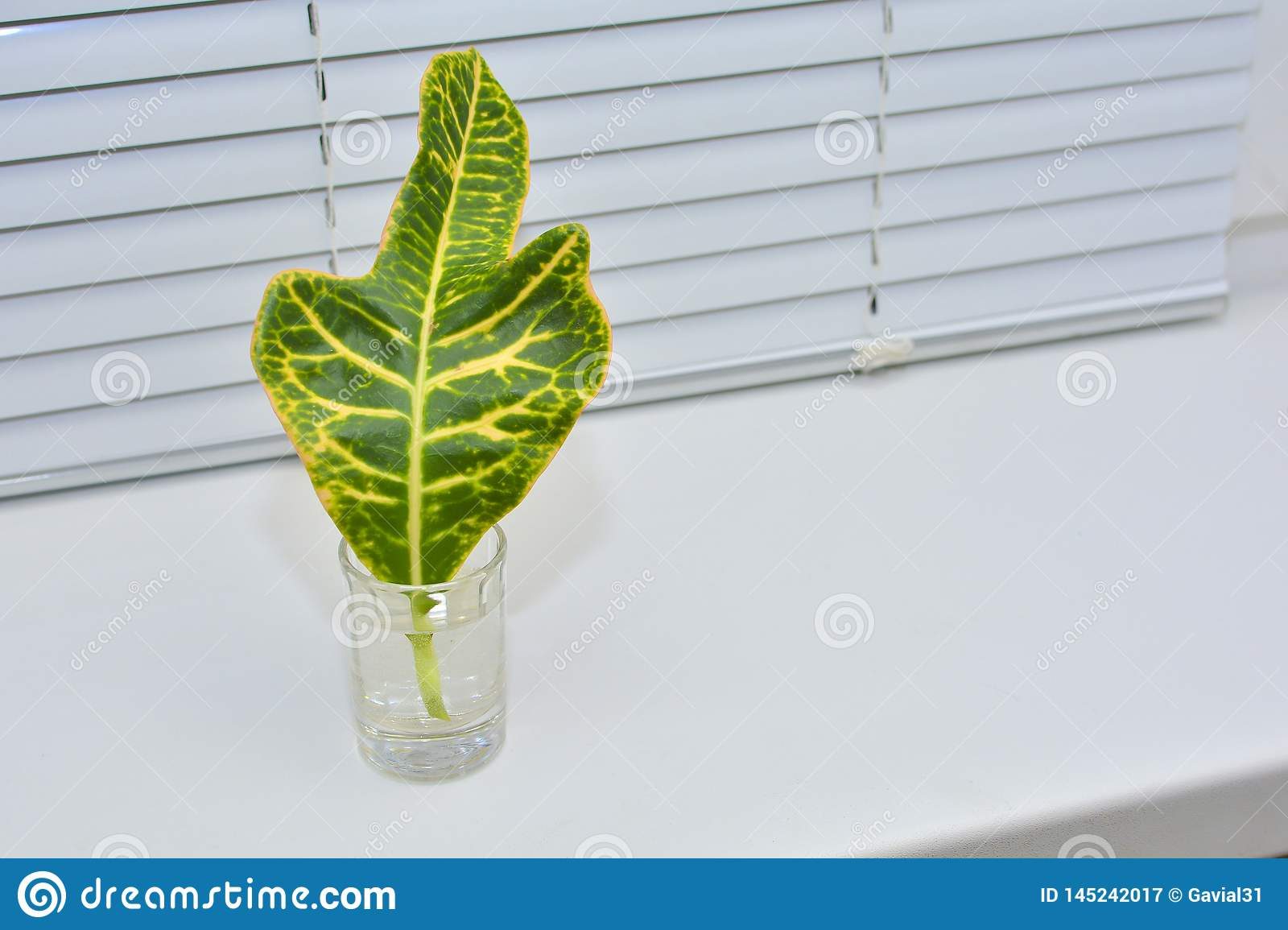 A Green Leaf Of A Plant Stands On The Windowsill In A Glass Of