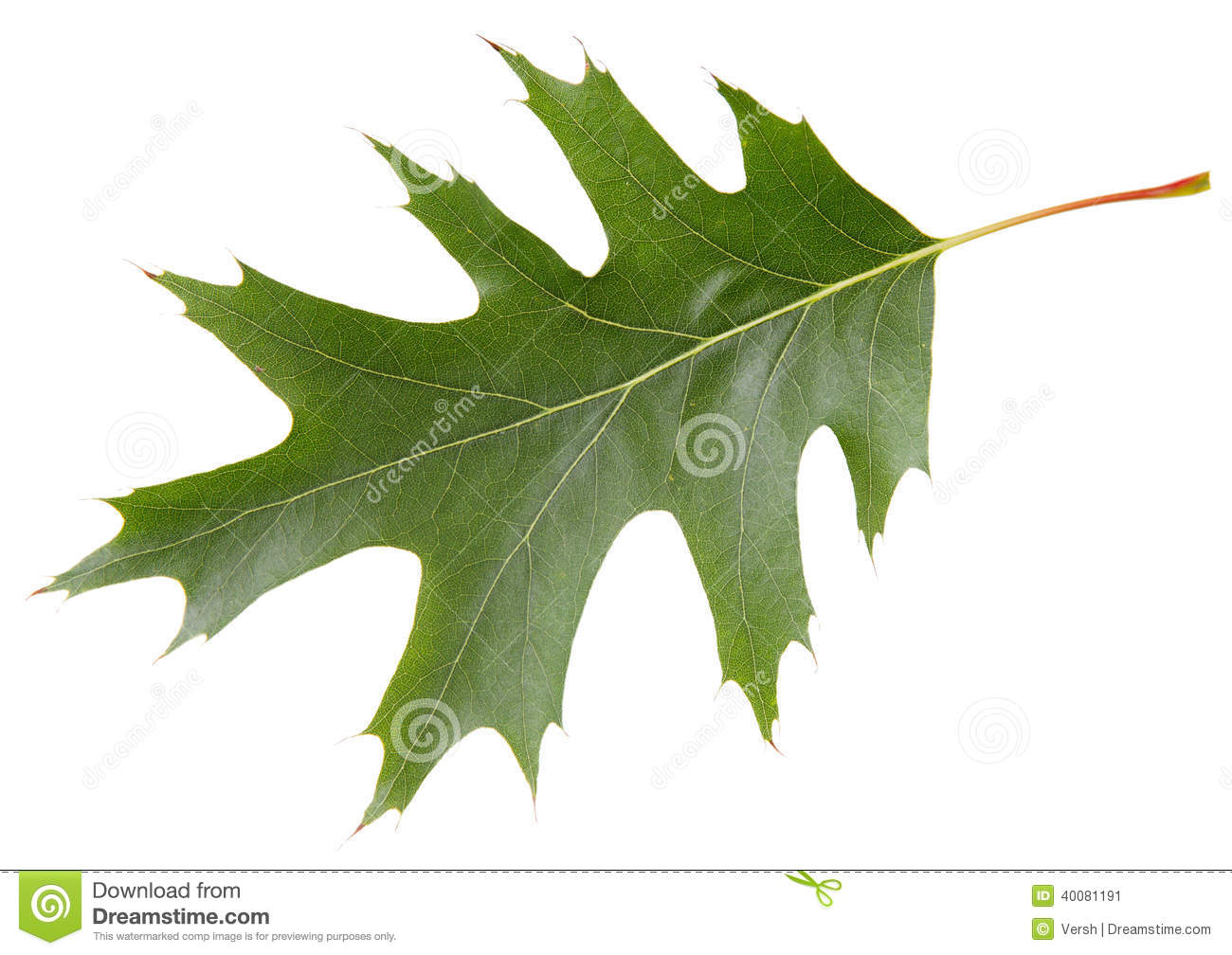 Red Oak Leaf ~ Green leaf of red oak tree isolated on white background