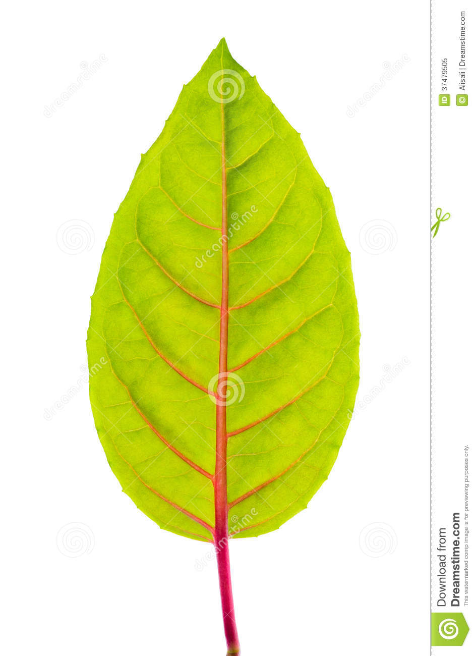 green leaf with red veins royalty free stock photo image BBQ Picnic Clip Art tropical foliage clipart