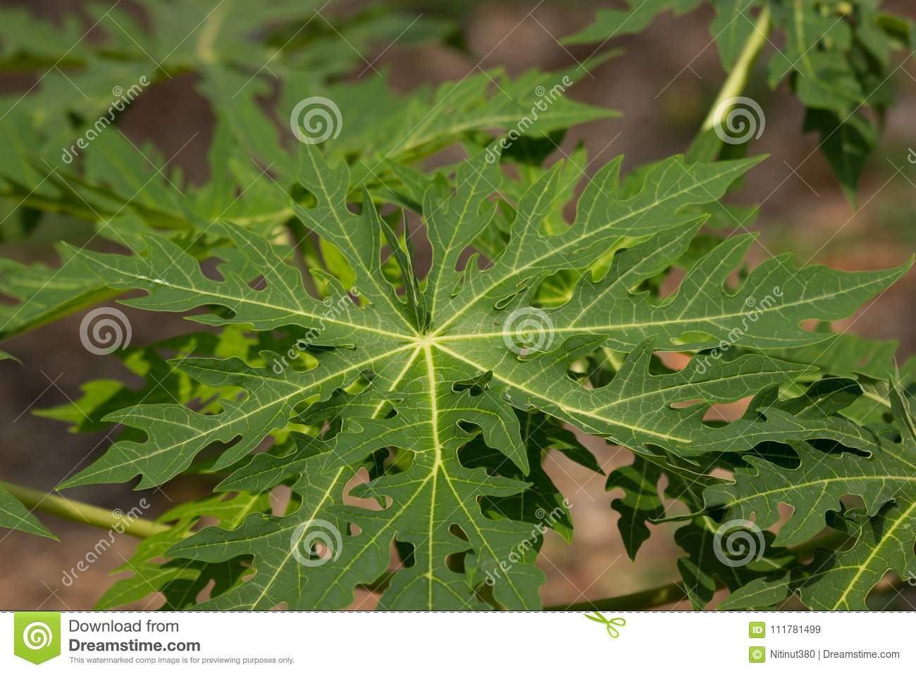 Green leaf of Young papaya tree
