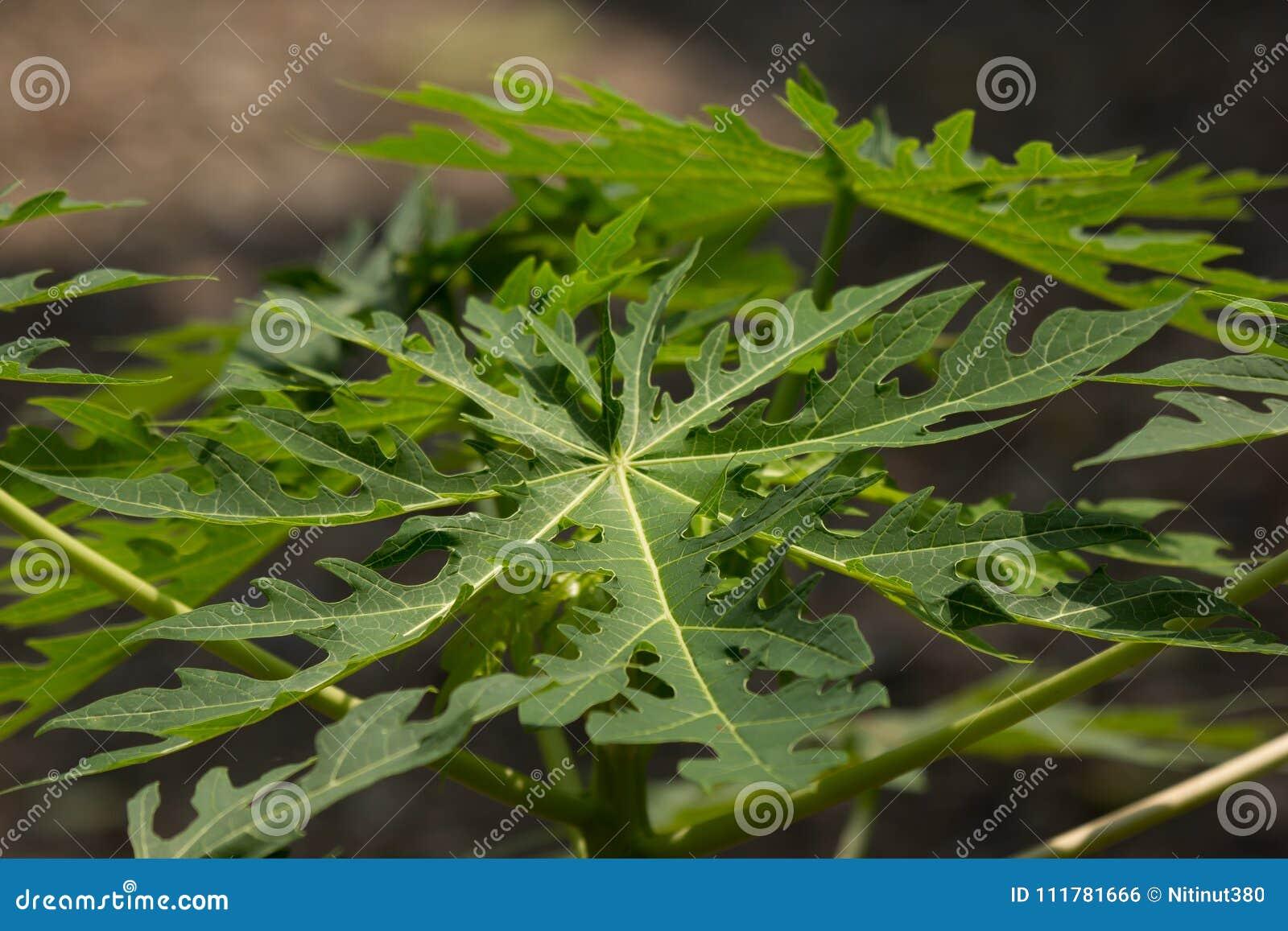 Green leaf of Young papaya tree