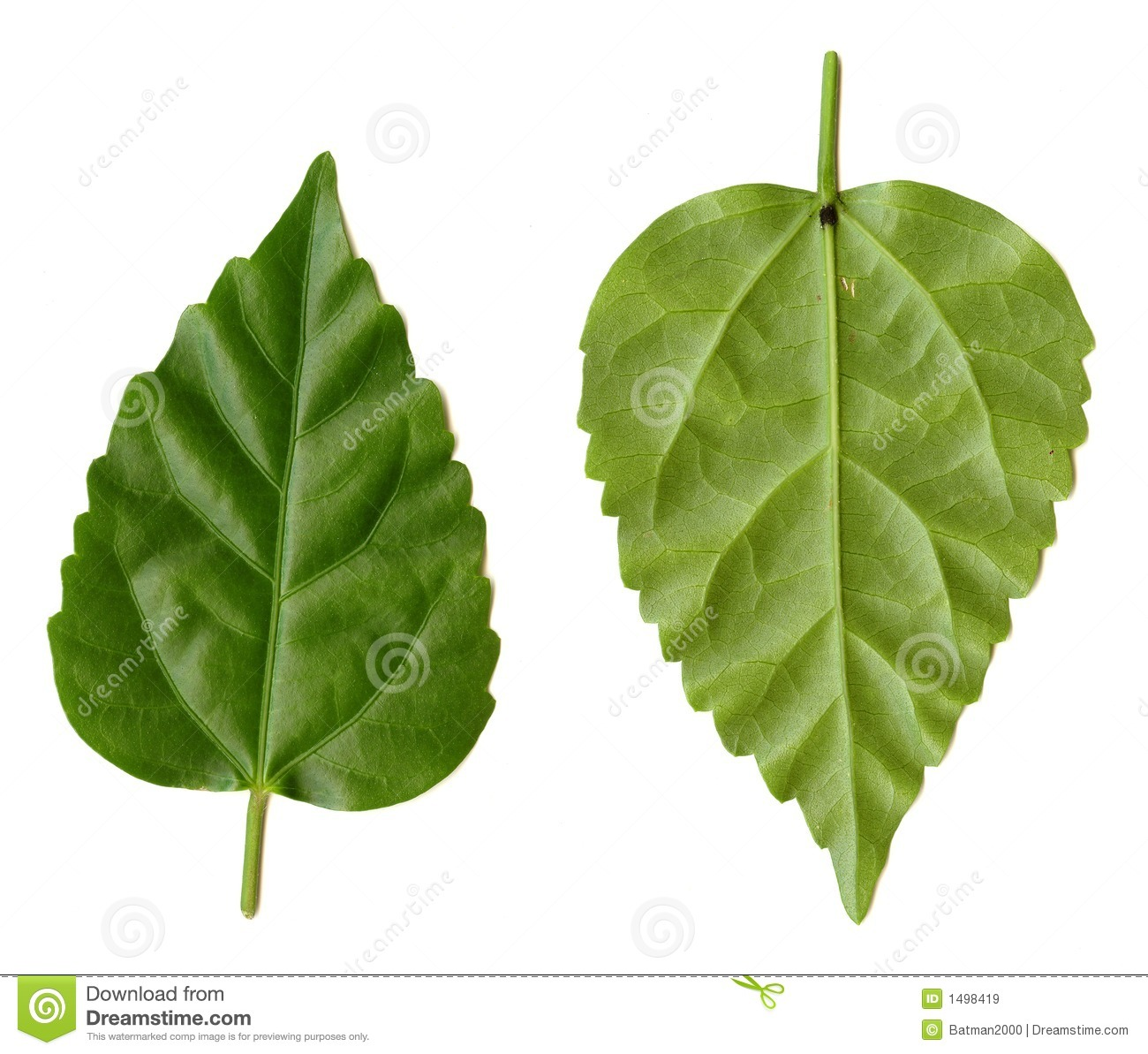 Green leaves on a white background for use as design elements.