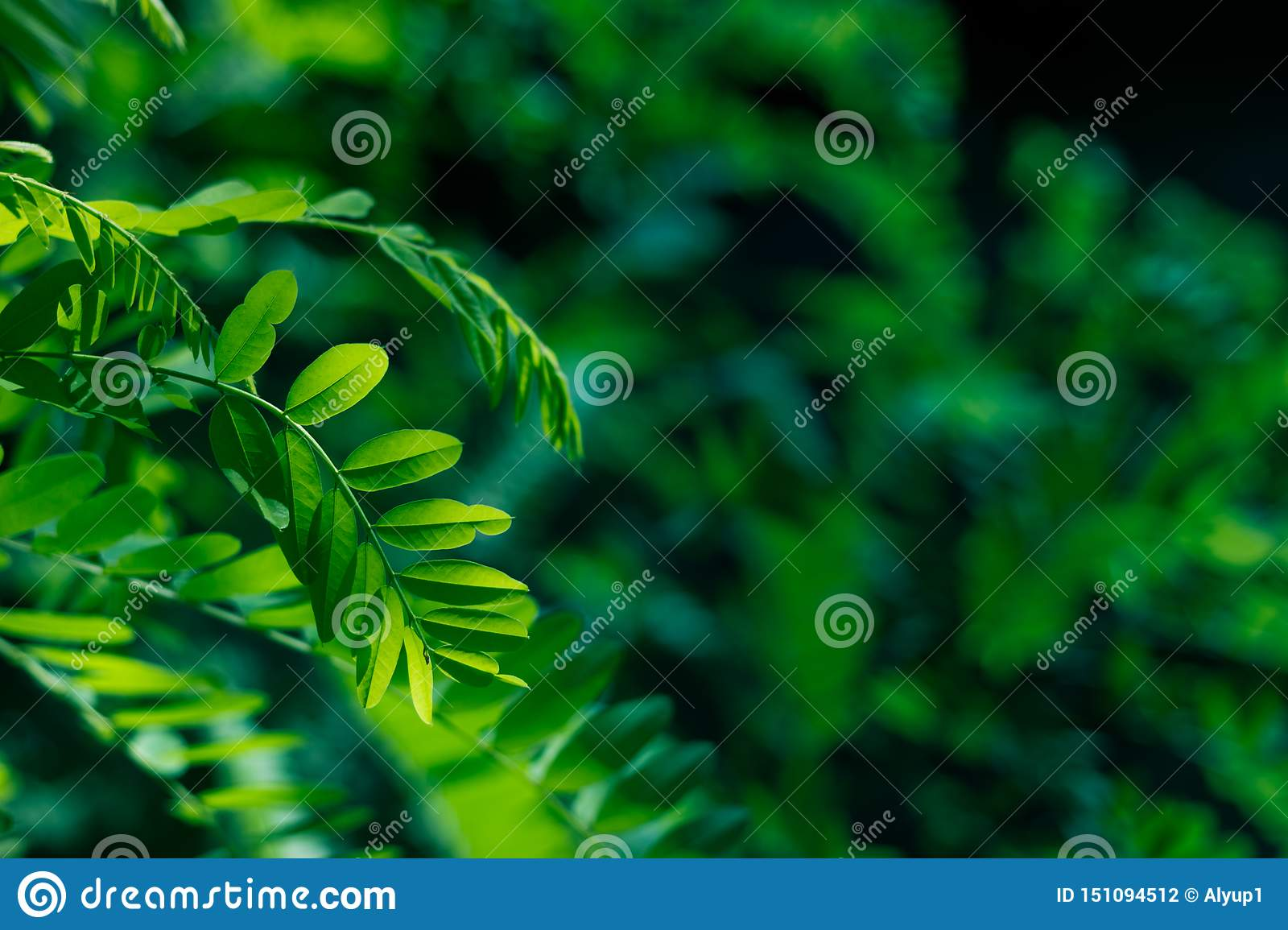 Green leaves of acacia in the sunlight