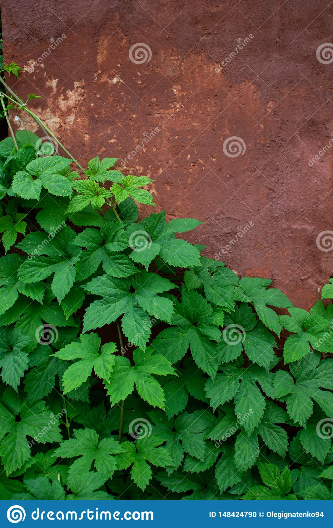 Green leaves against the background of the old wall