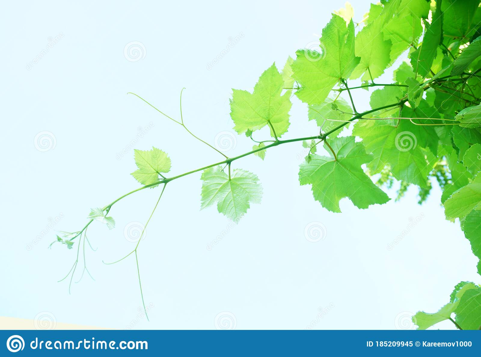 Green Grape Leaves Background With Blue Sky Stock Image Image Of Branch Closeup 185209945