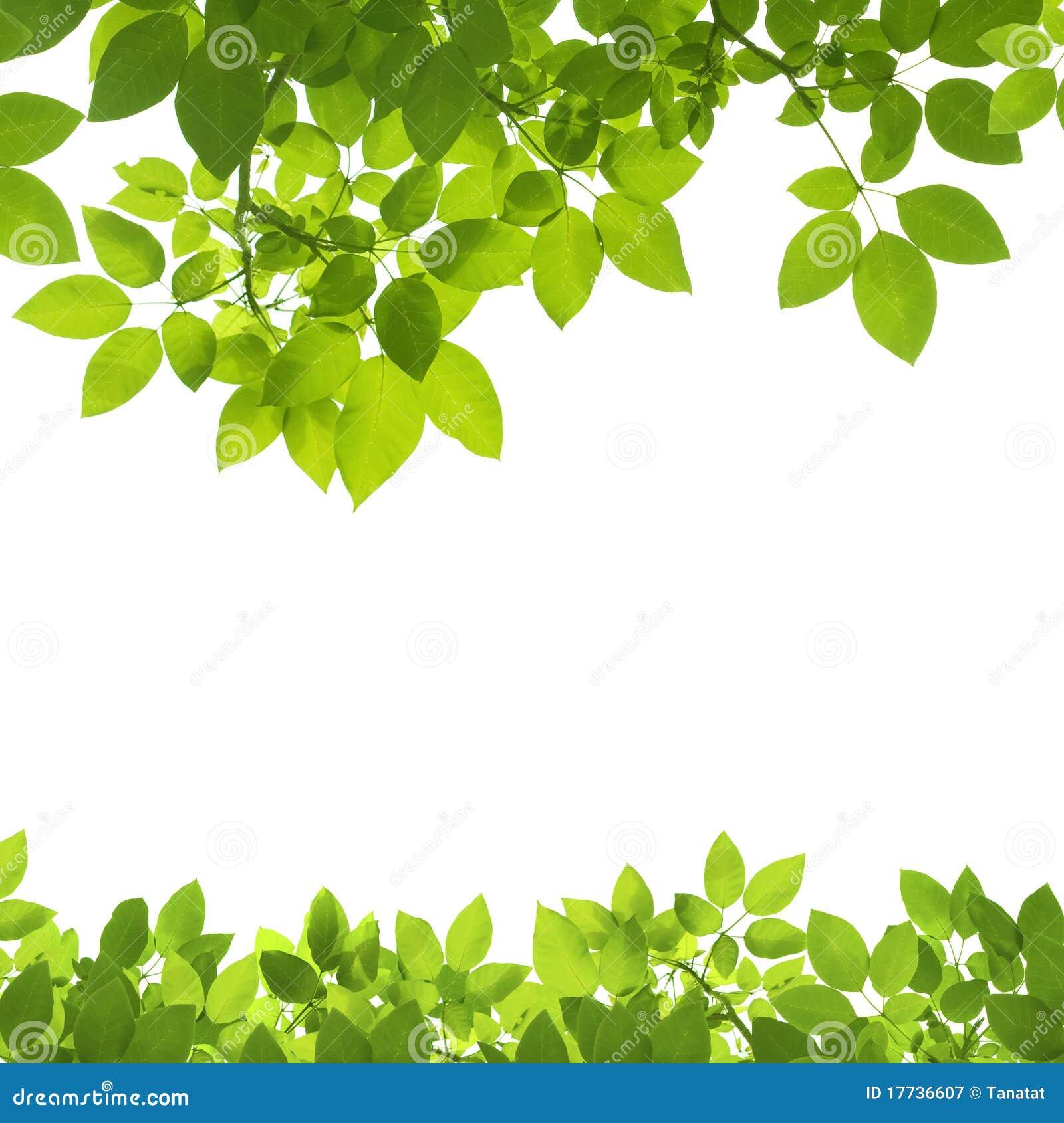 green leaves border on white royalty free stock oak leaf clipart oak leaf clipart free