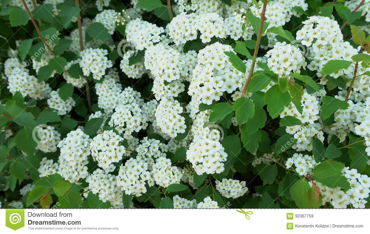 Green leaves of bush with white flowers stock video video of green leaves of bush with white flowers stock video video of beauty herb 92367759 mightylinksfo