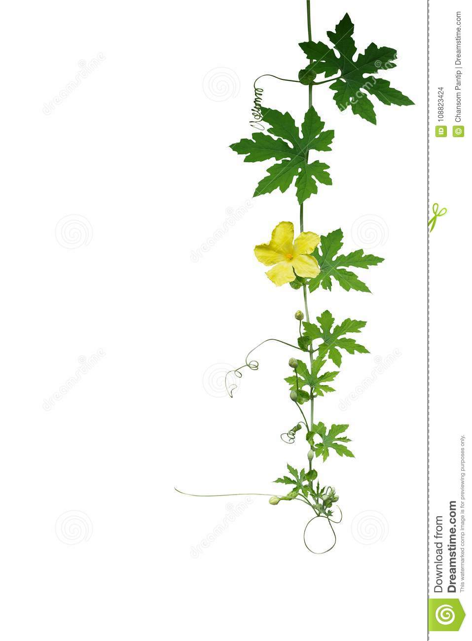 Green leaves climbing vine plant with tendrils and yellow flower download comp mightylinksfo