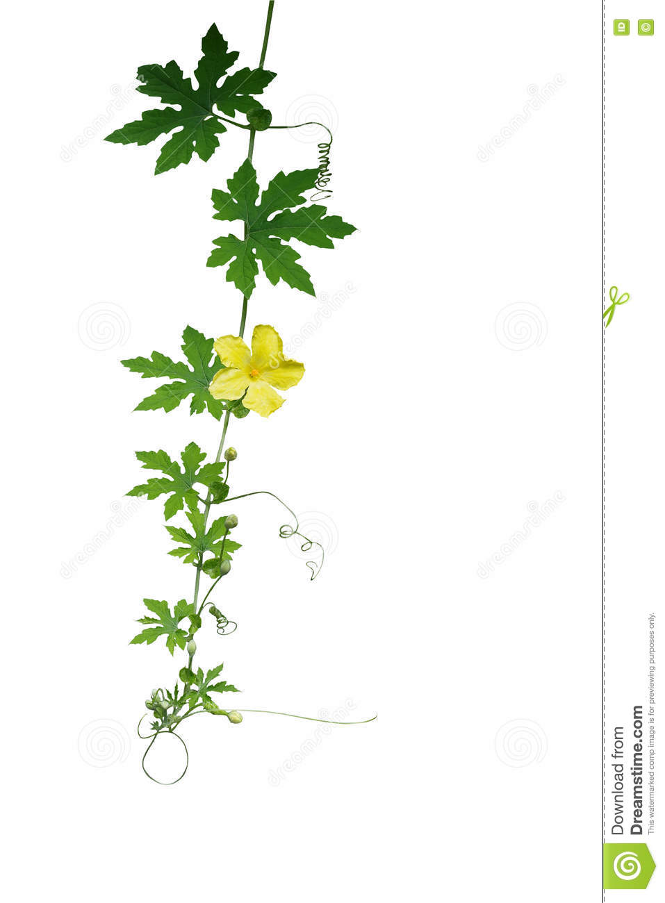 Green Leaves Climbing Vine With Tendrils And Yellow Flower Isola