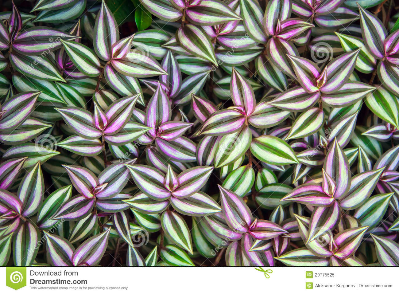 Green leaves of tradescantia zebrina background stock for Tradescantia zebrina