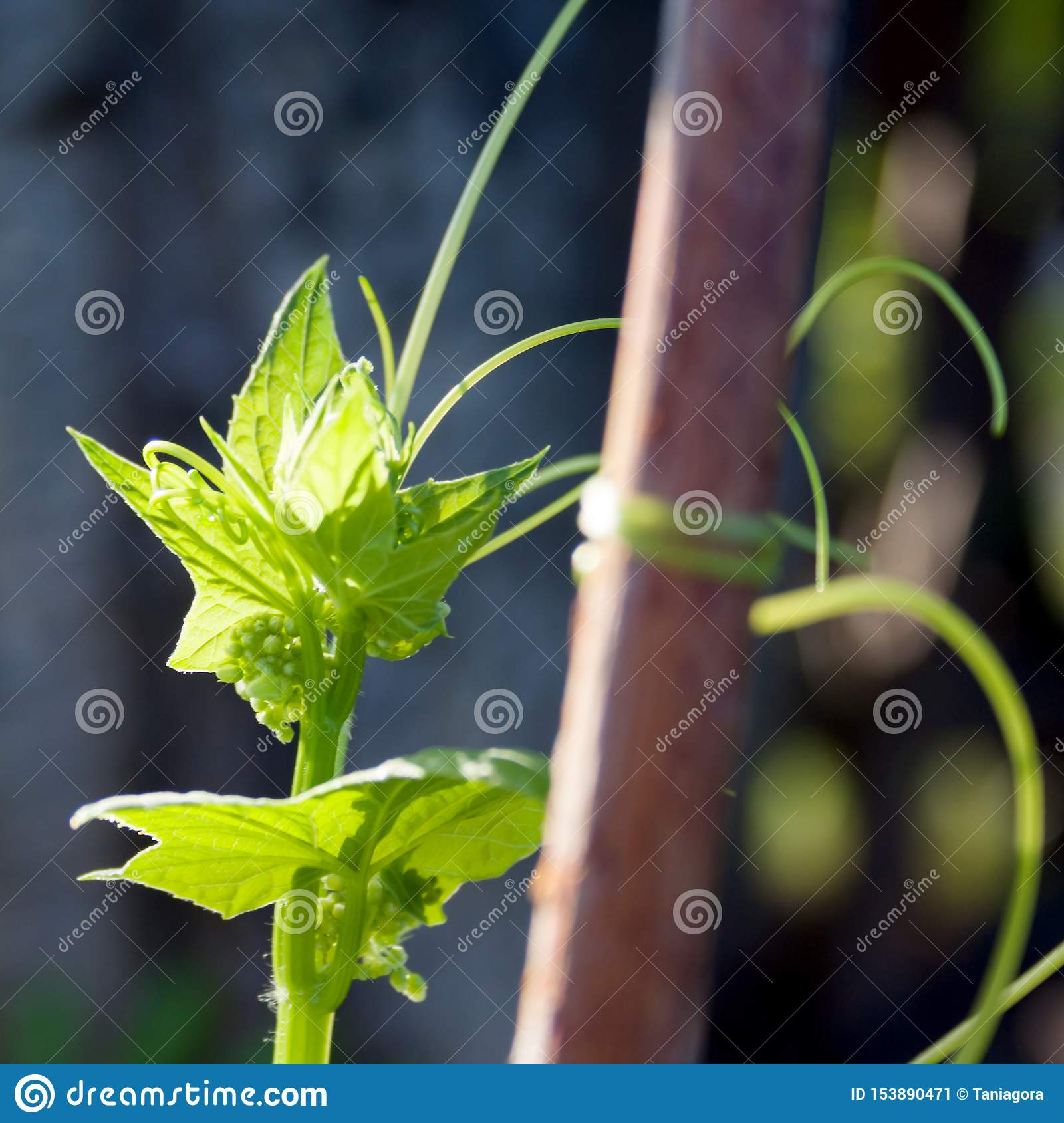 Green leaves of a hop plant on a neutral background in the garden