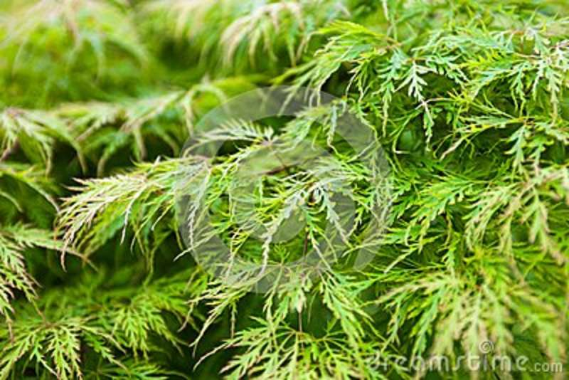 Green Leaves Of The Japanese Maple Acer Palmatum Stock Image