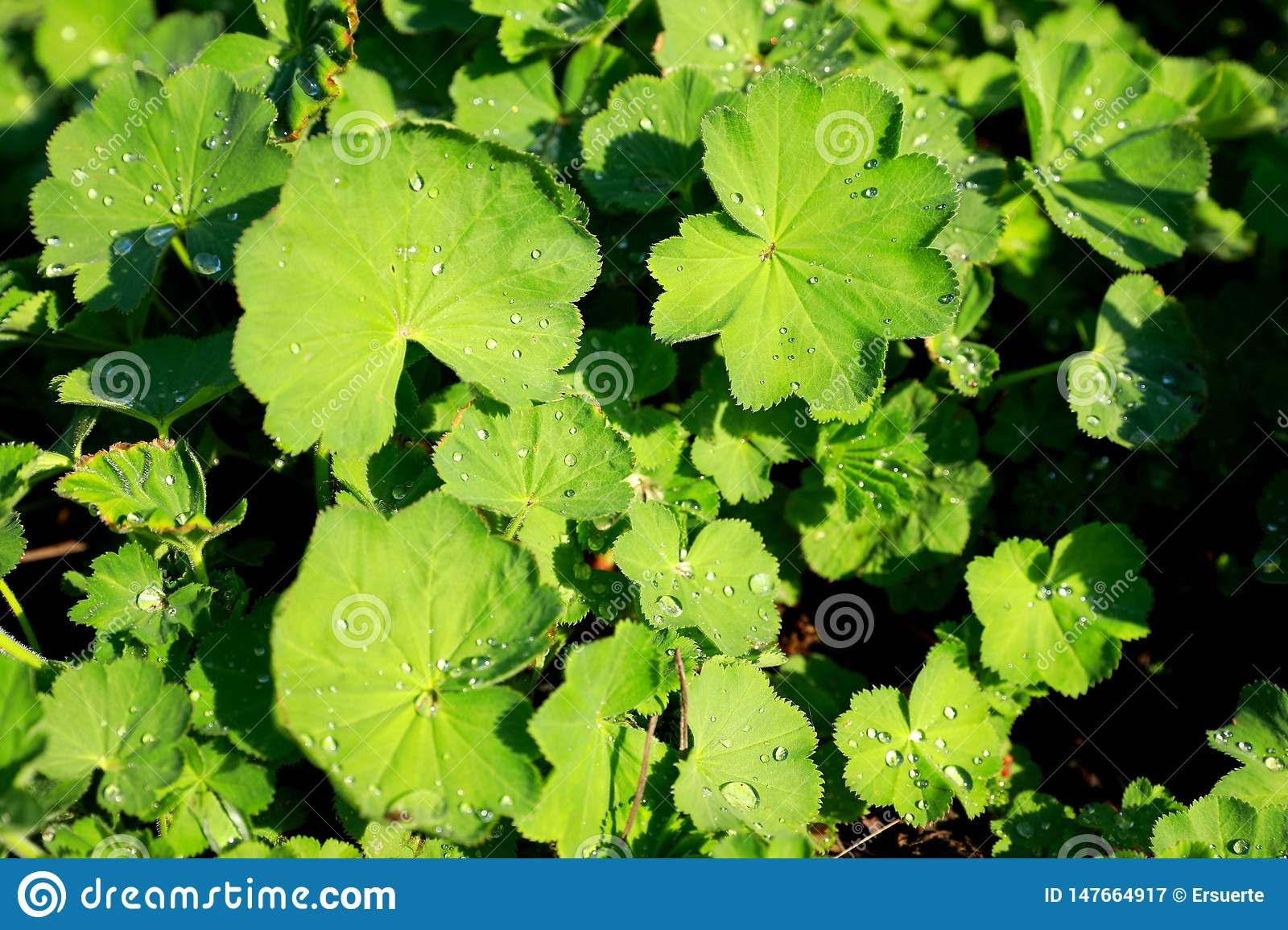 Green leaves of lady's mantle or alchemilla