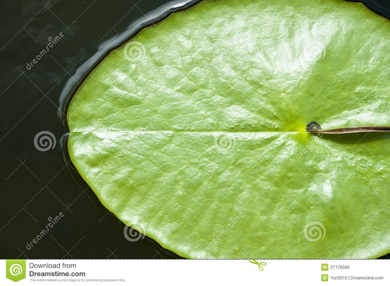Green Leaves Of Lotus Flower Stock Photo Image Of Outdoors Egypt