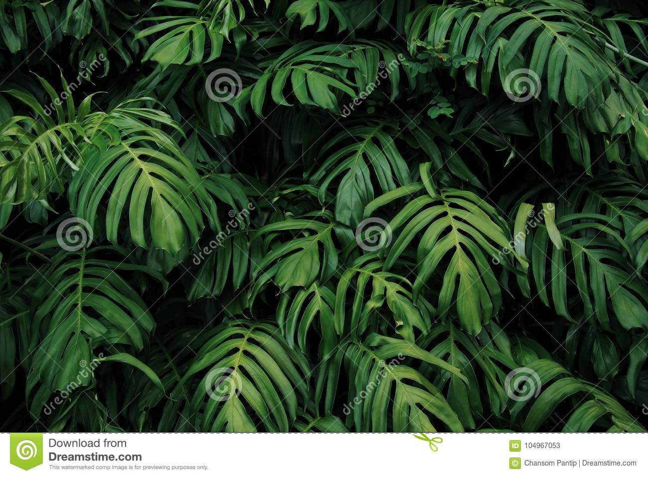Green leaves of Monstera philodendron plant growing in wild, the tropical forest plant, evergreen vines on dark background.