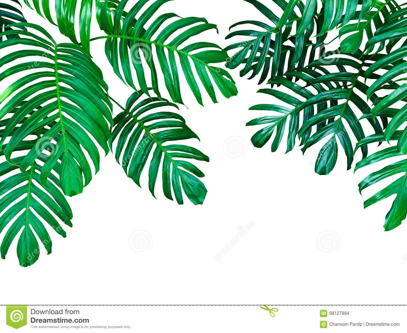 Green leaves of Monstera philodendron the tropical forest plant, evergreen vine isolated on white background, clipping path