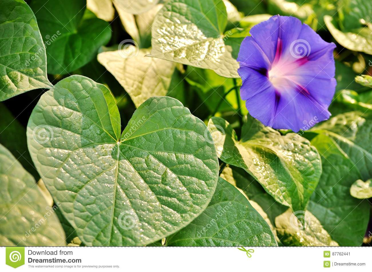 Green Leaves And Morning Glory Ipomea Purpurea Open Flower Stock