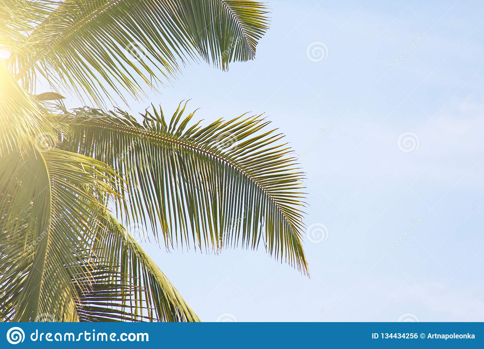 Green Leaves of a palm tree, blue sky and the sun. Exotic Tropical background. Palms in India, Goa