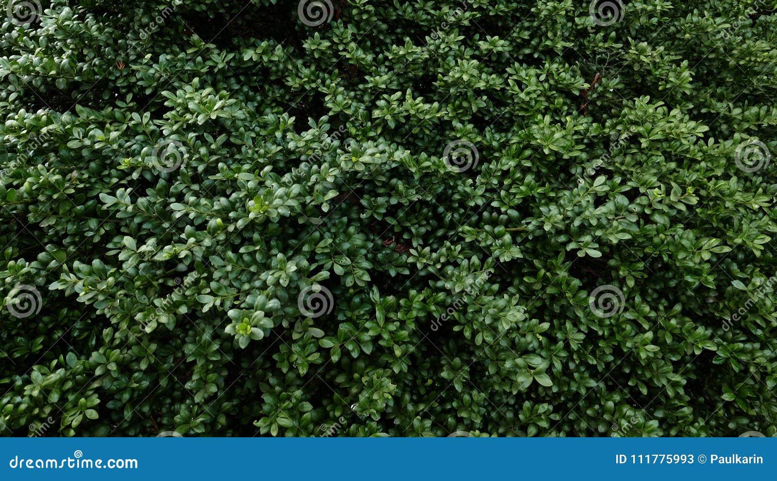 Green leaves.