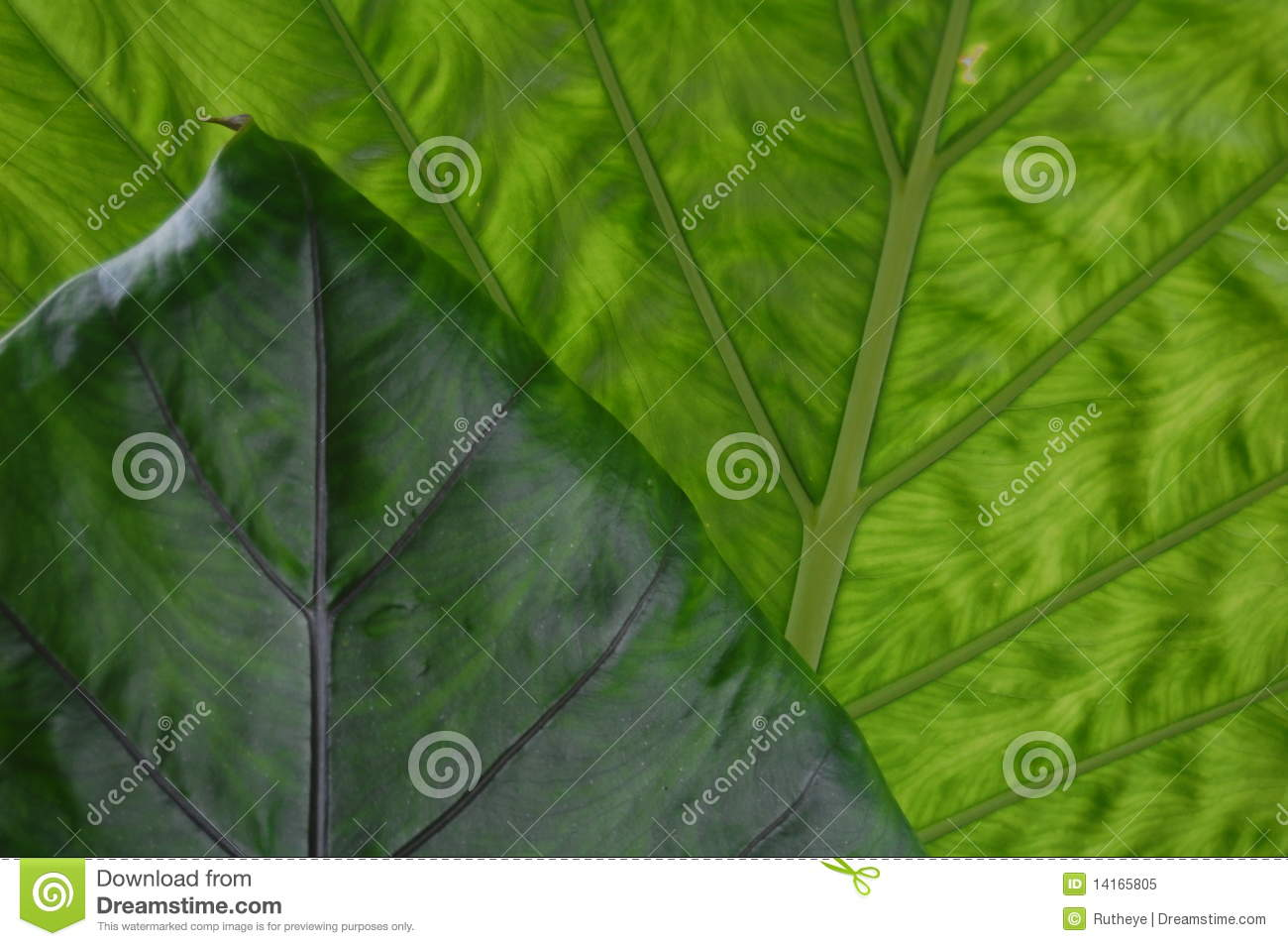 Green leaves with point