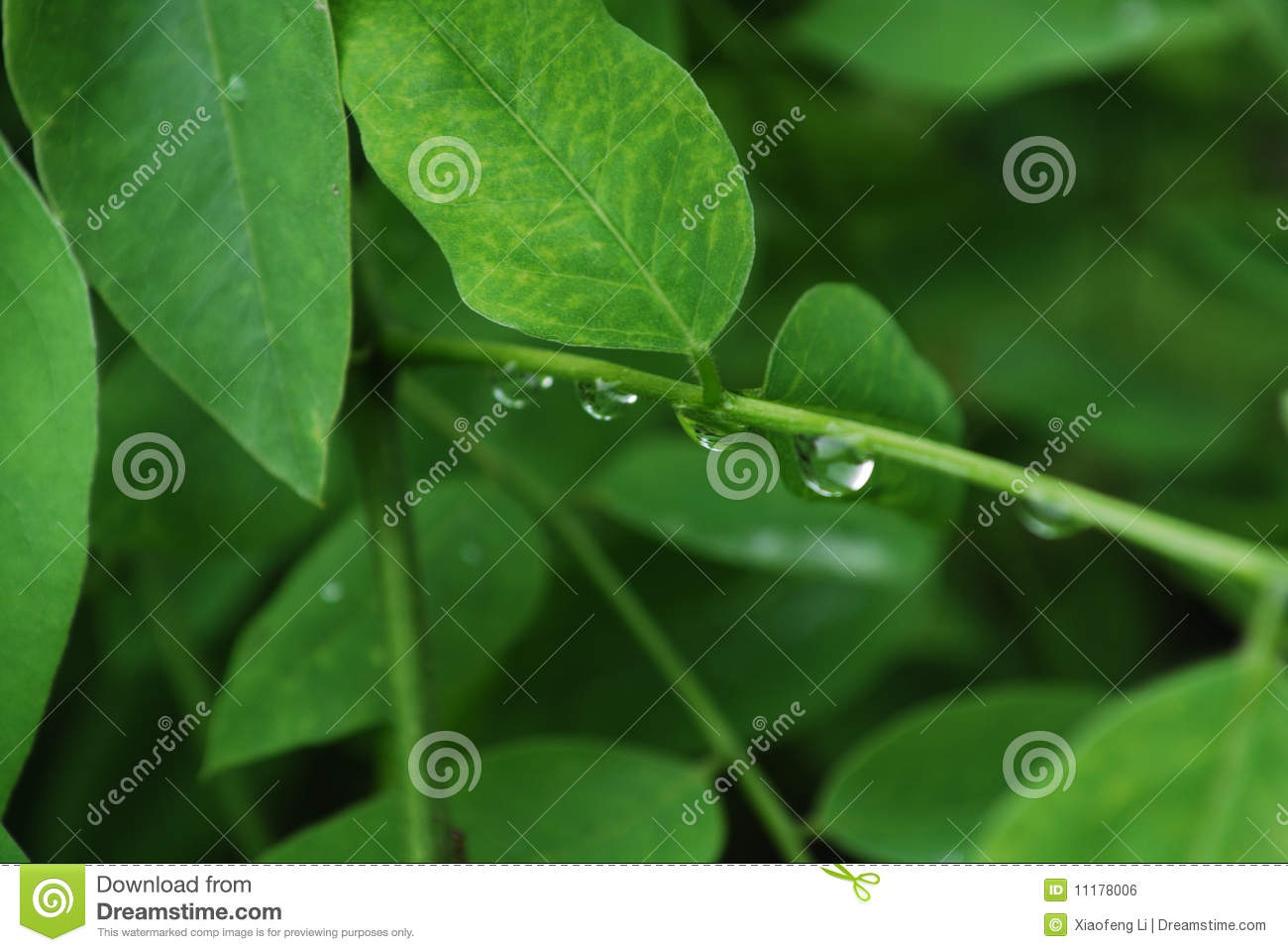 Green Leaves and Raindrops