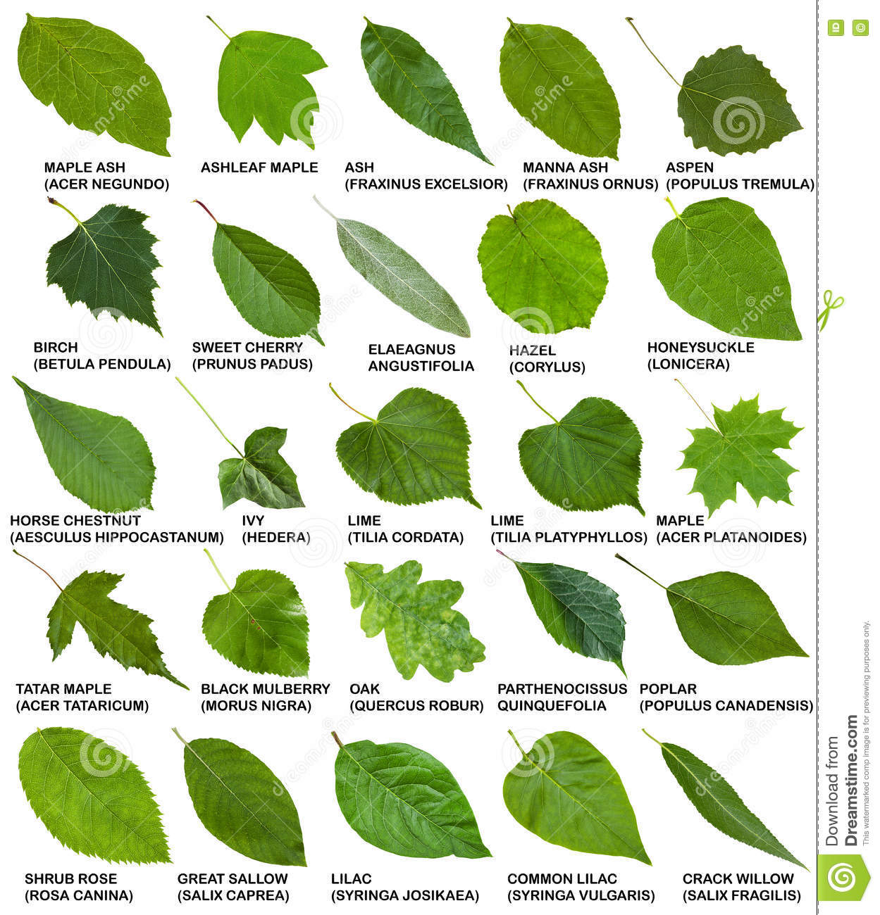 Green leaves of trees and shrubs with names stock image for Arbustos de hoja perenne para jardin