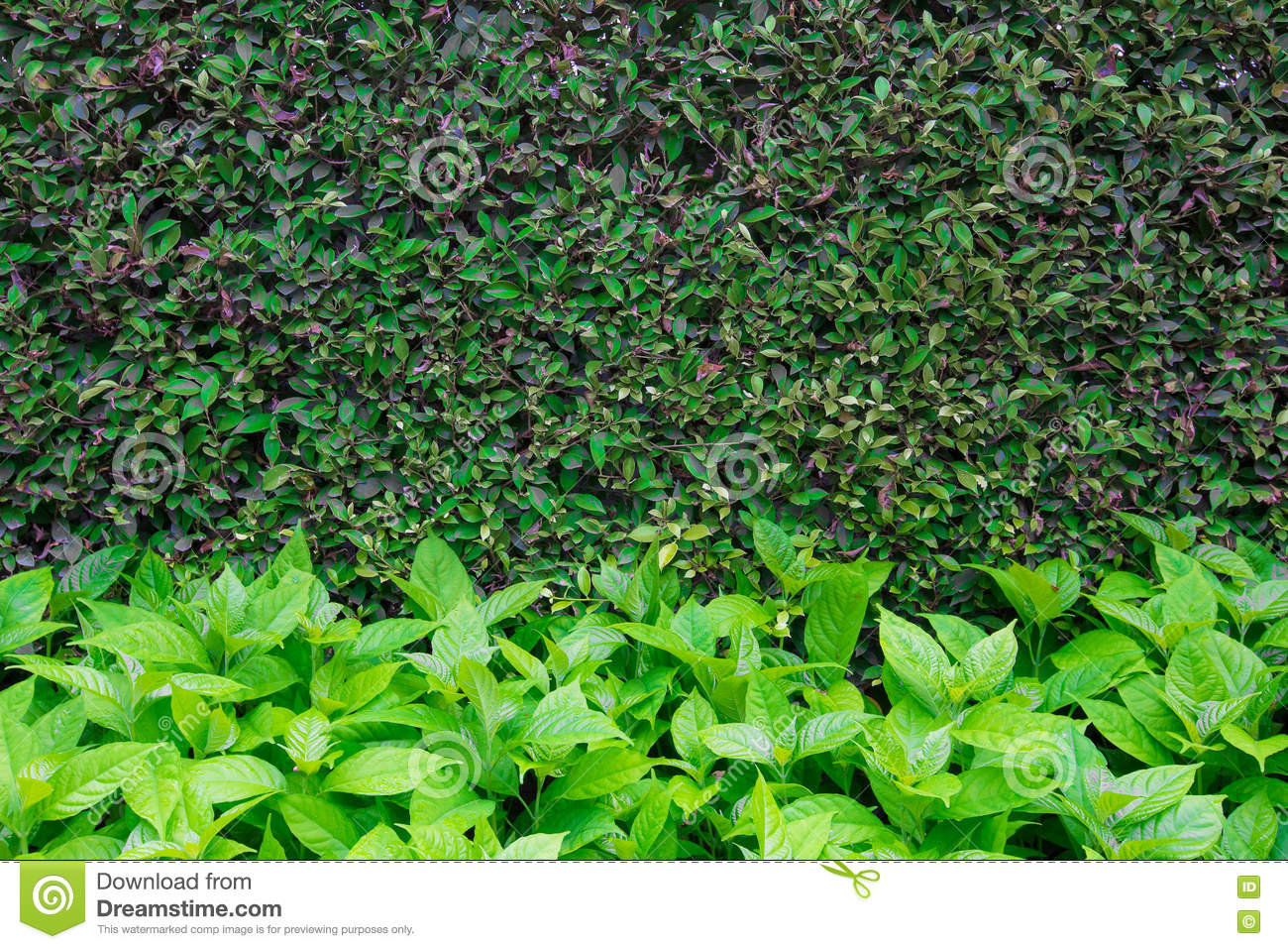 Green leaves wall background texture.