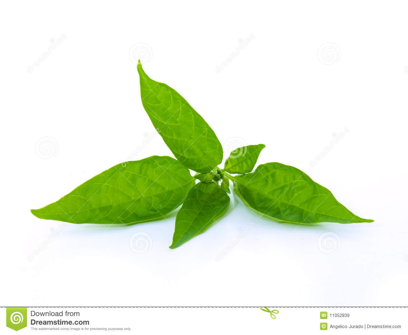 Green Leaves On White Background Stock Image Image 11052839