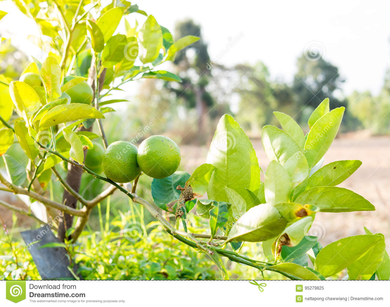 Green Lemons tree in the garden