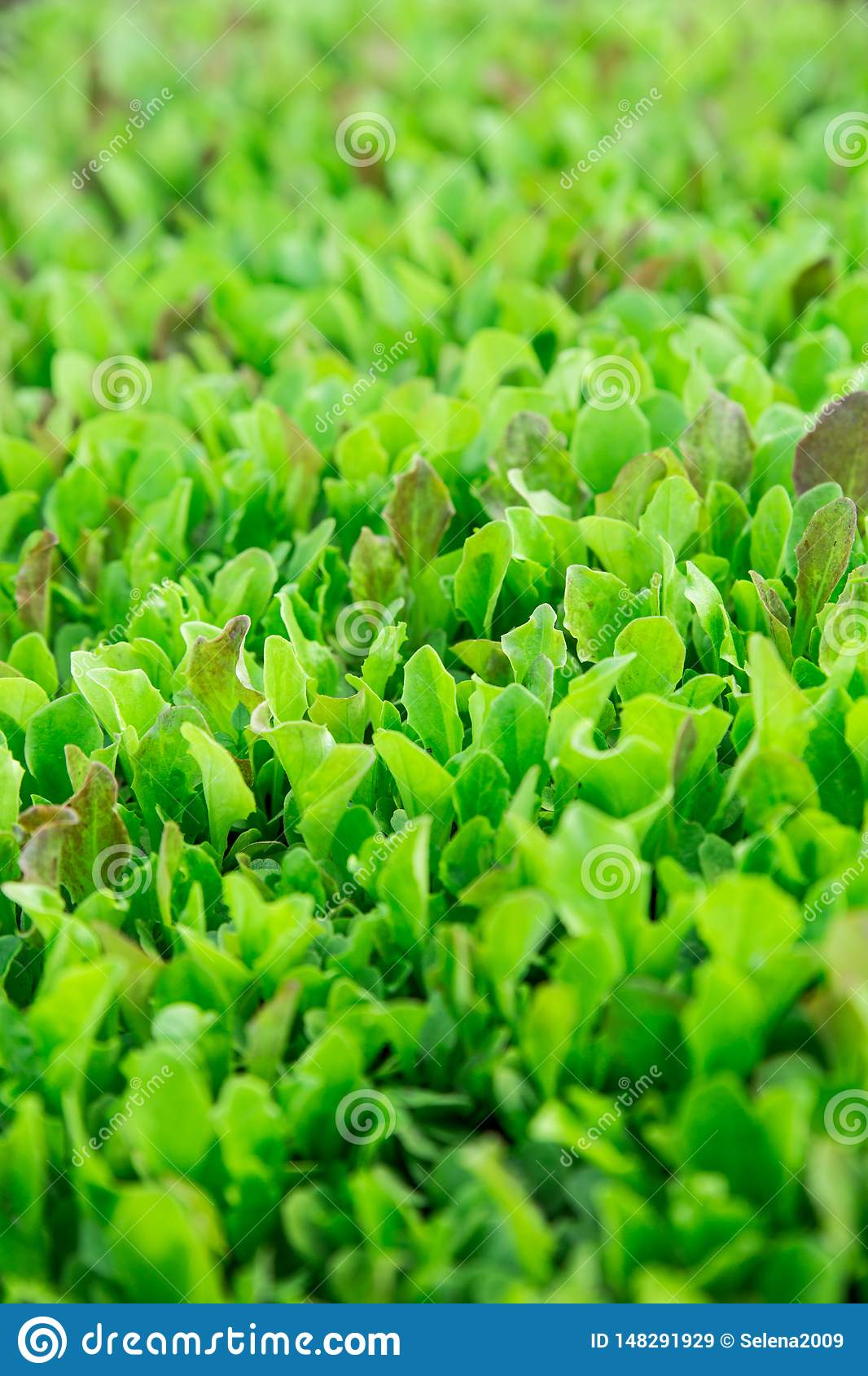 Green lettuce leaves. Fresh, young and tender lettuce leaves grow in the garden. A solid green carpet. Bright green