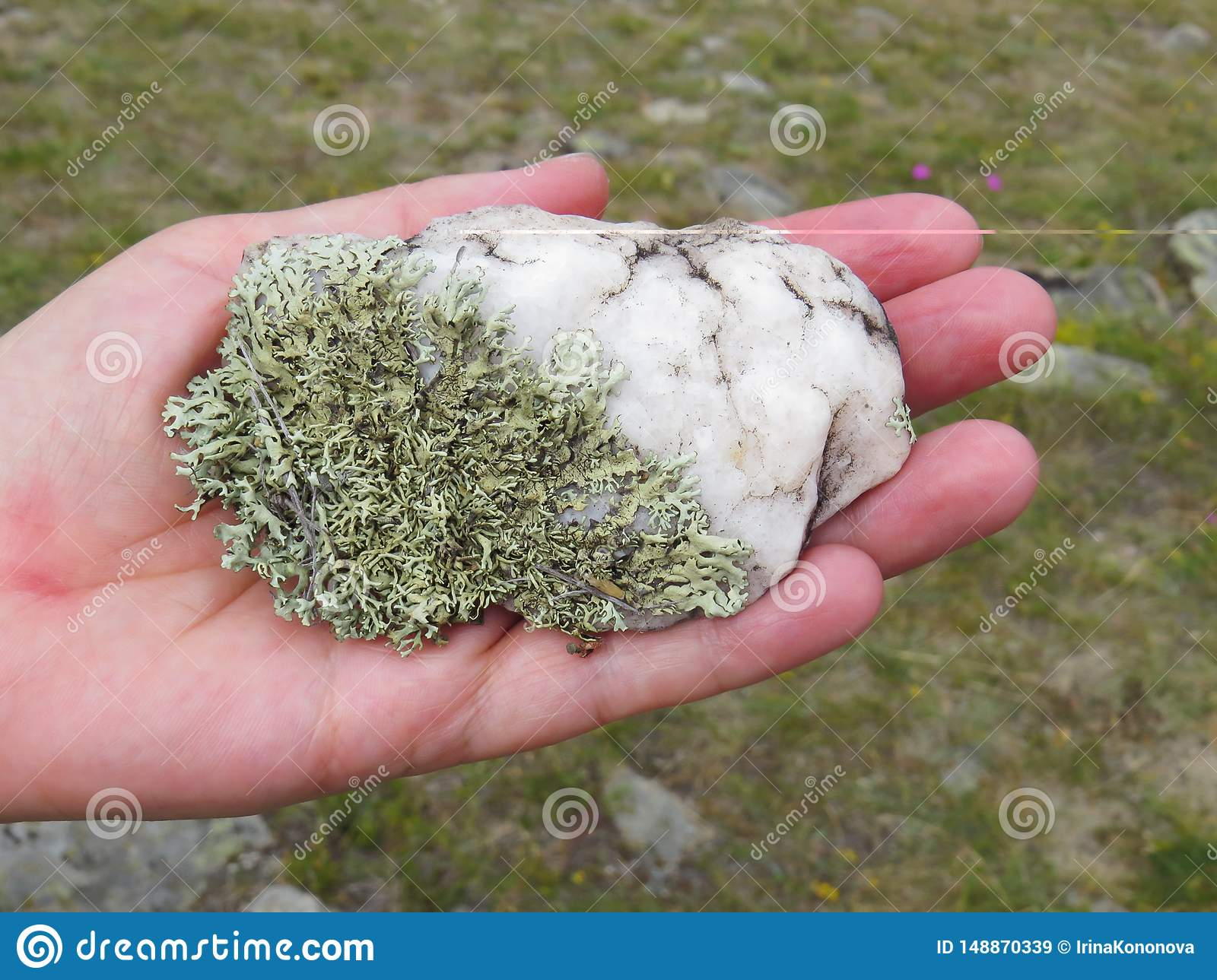 Green lichen on white quartzite in the palm. Close-up. Nature of Baikal