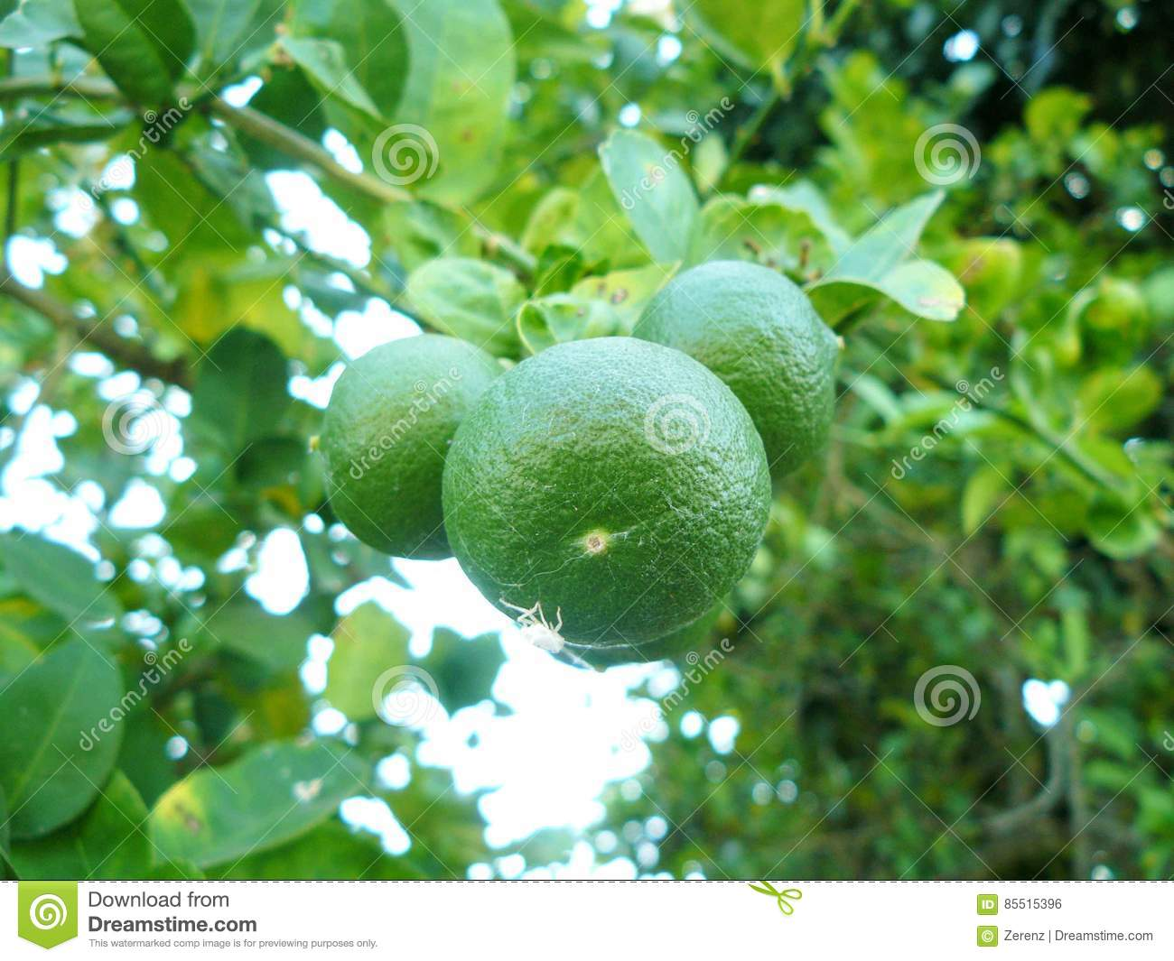 Green lime on tree