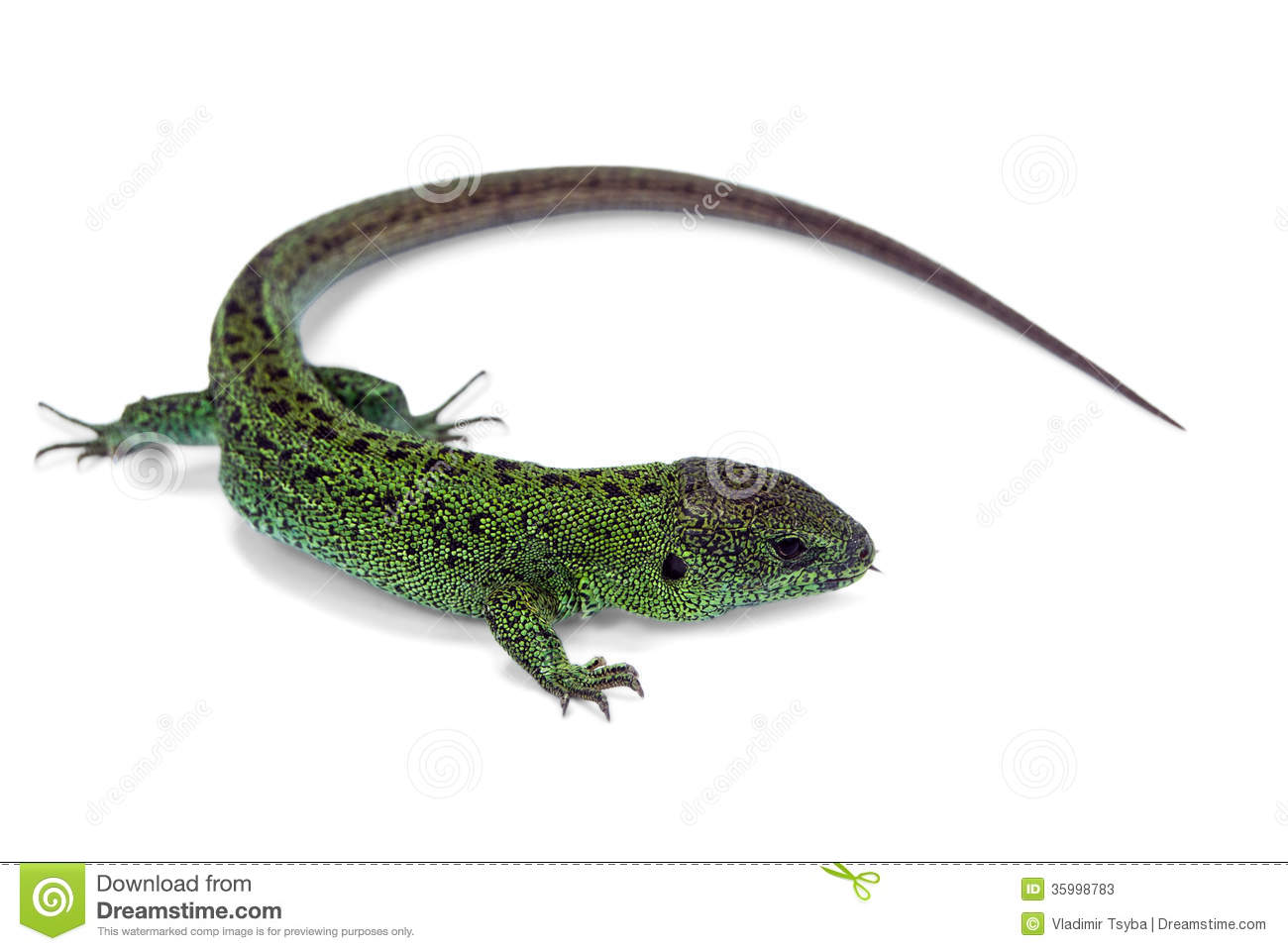 Big green lizard isolated on white background.