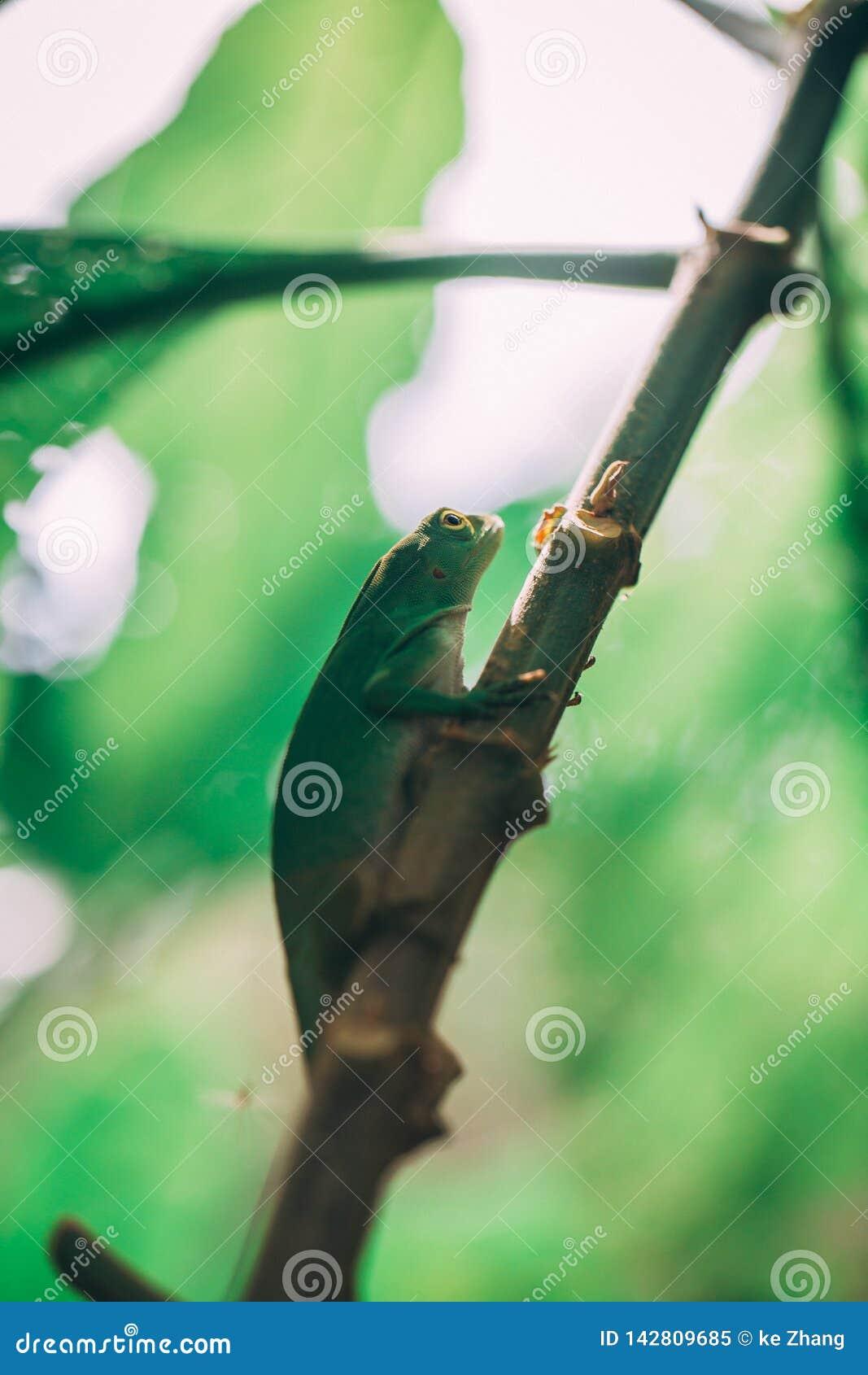 Green Lizard in rainforest in costa rica